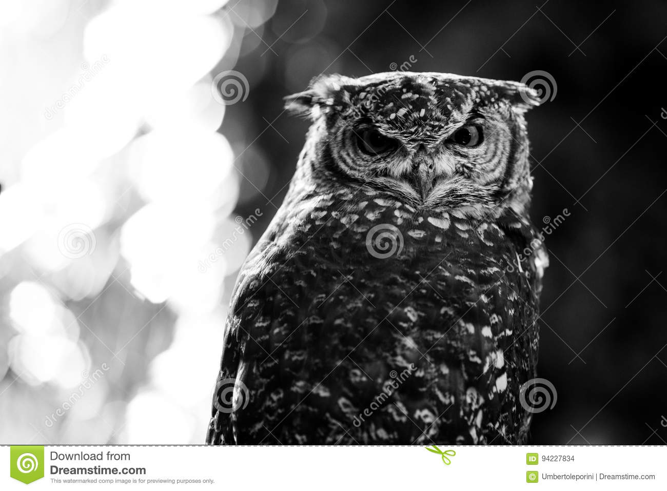 African owl black and white animals portraits stock photo image of