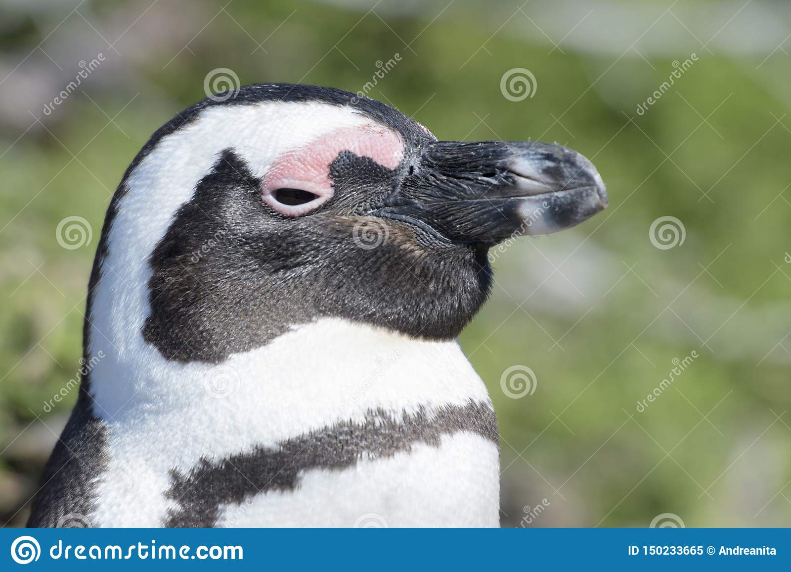 African penguin portrait, side view