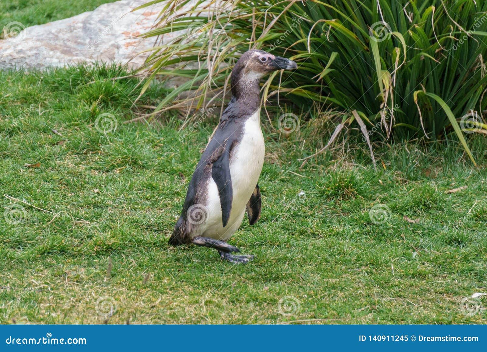 African penguin walking around in grassy zoo habitat