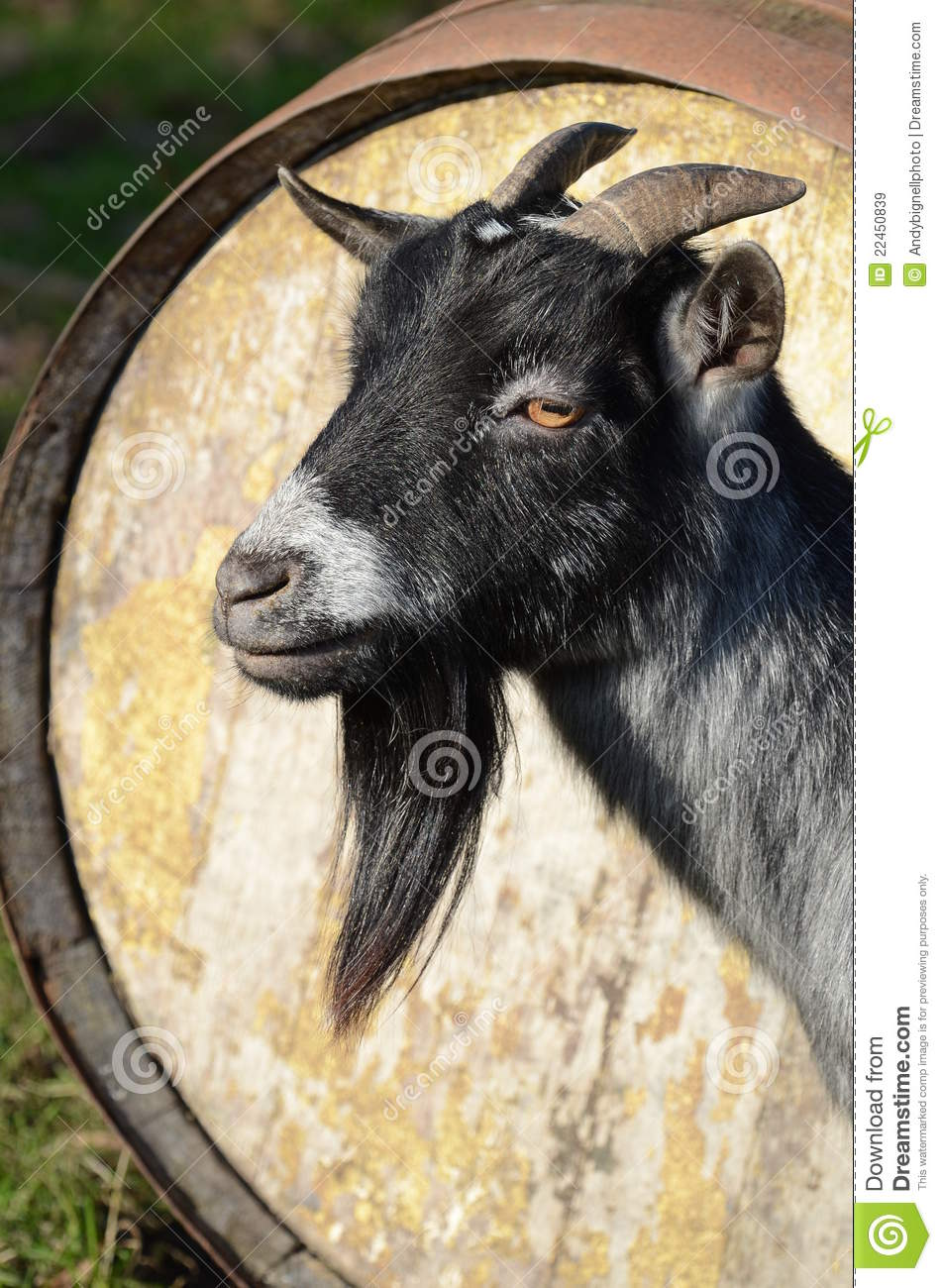 african pygmy billy goat royalty free stock images image