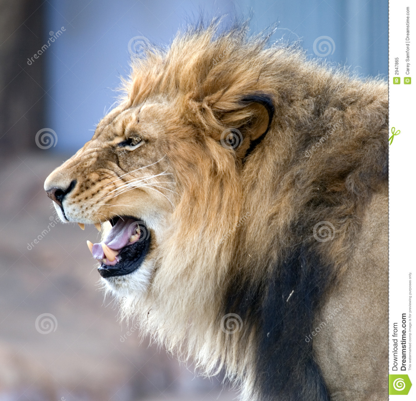 African Roaring Lion Royalty Free Stock Photo - Image: 2947865