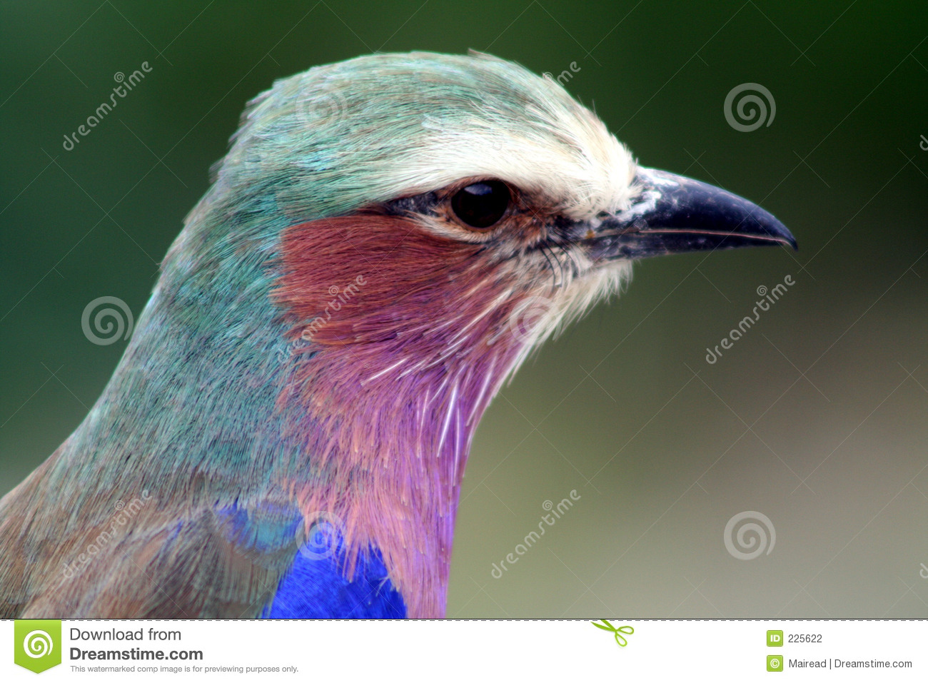 Download African  Roller bird stock photo. Image of colourful, purple - 225622
