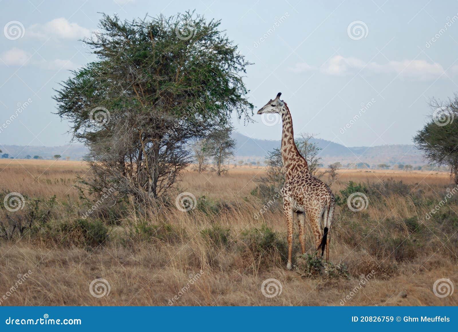 African savannah with Masai Giraffe - acacia tree