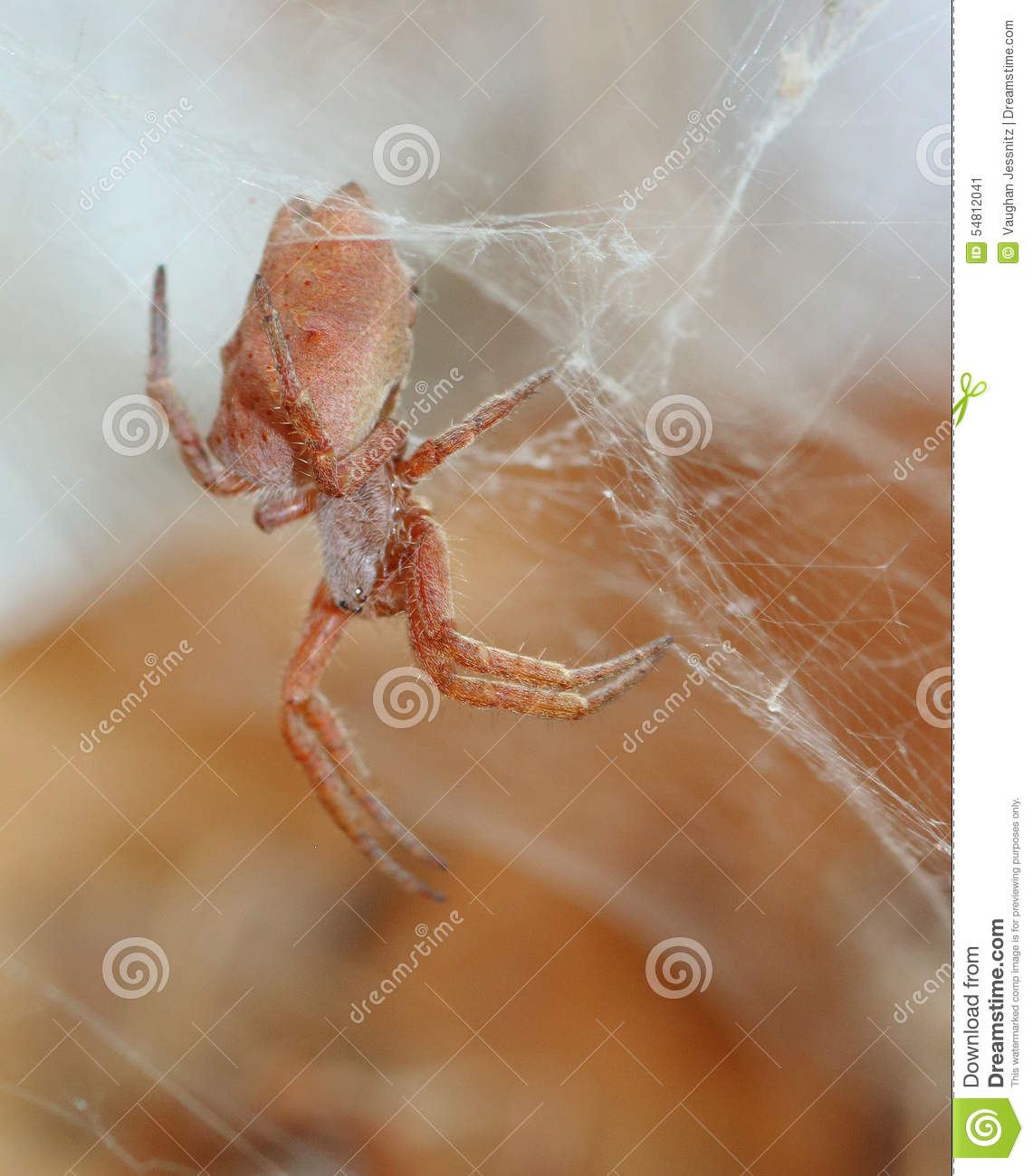 african spider stock image image of little animals 54812041