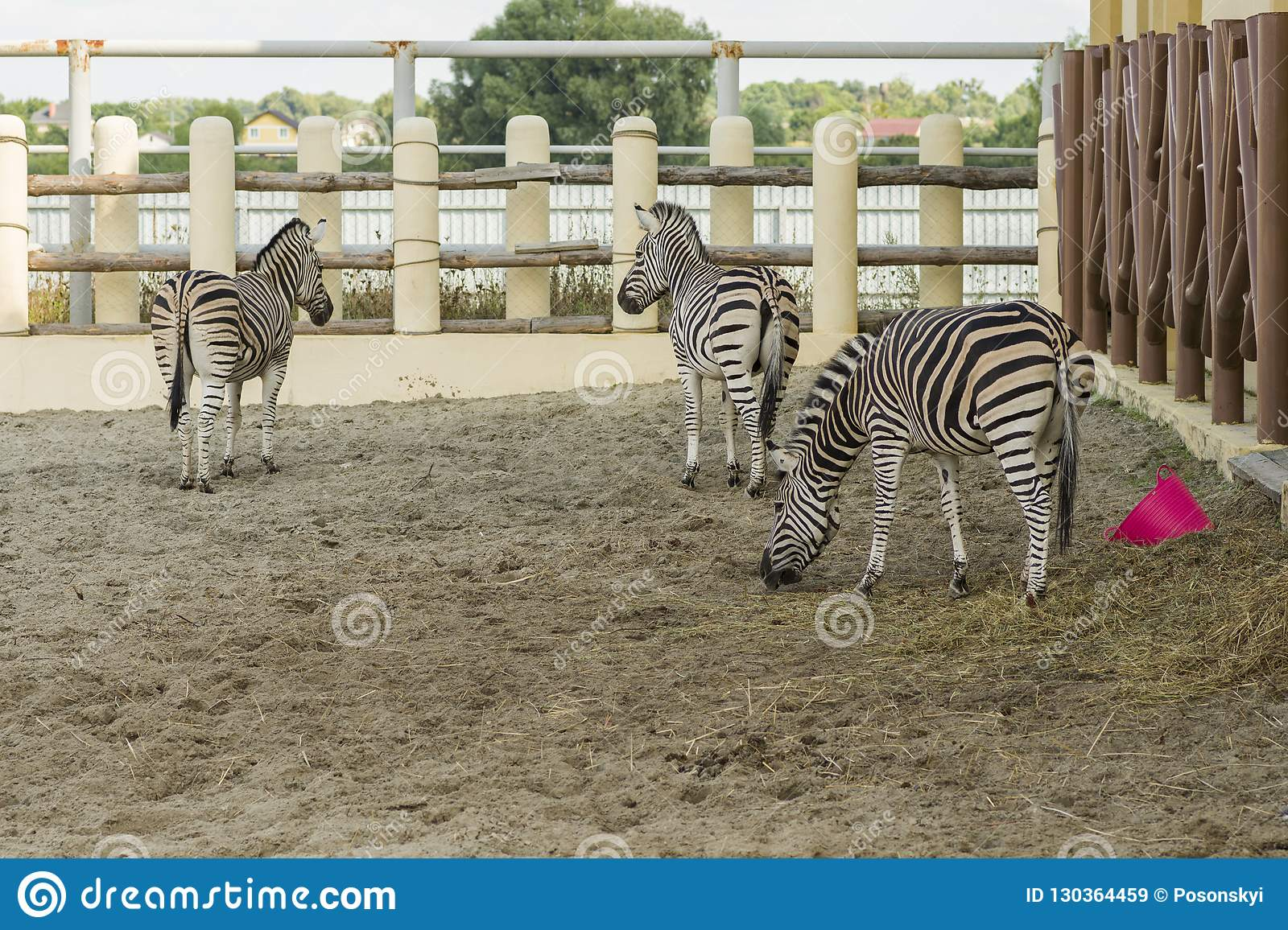 African striped zebras in the zoo