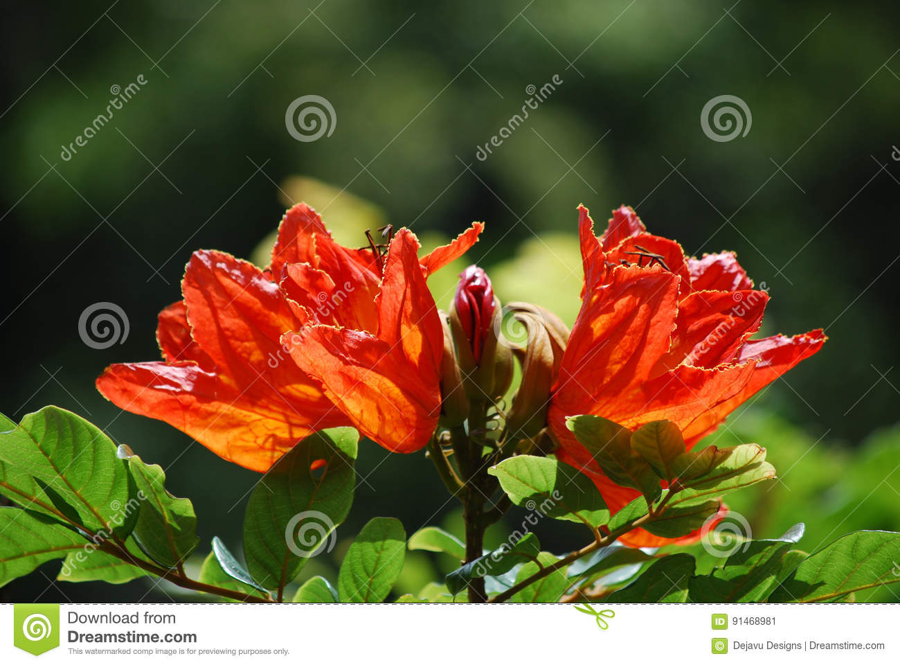 African Tuliptree Flowering Stock Image Image Of Photography
