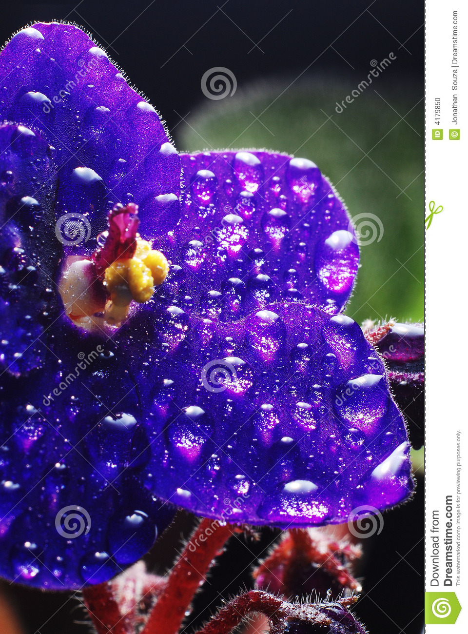 African Violet with droplets