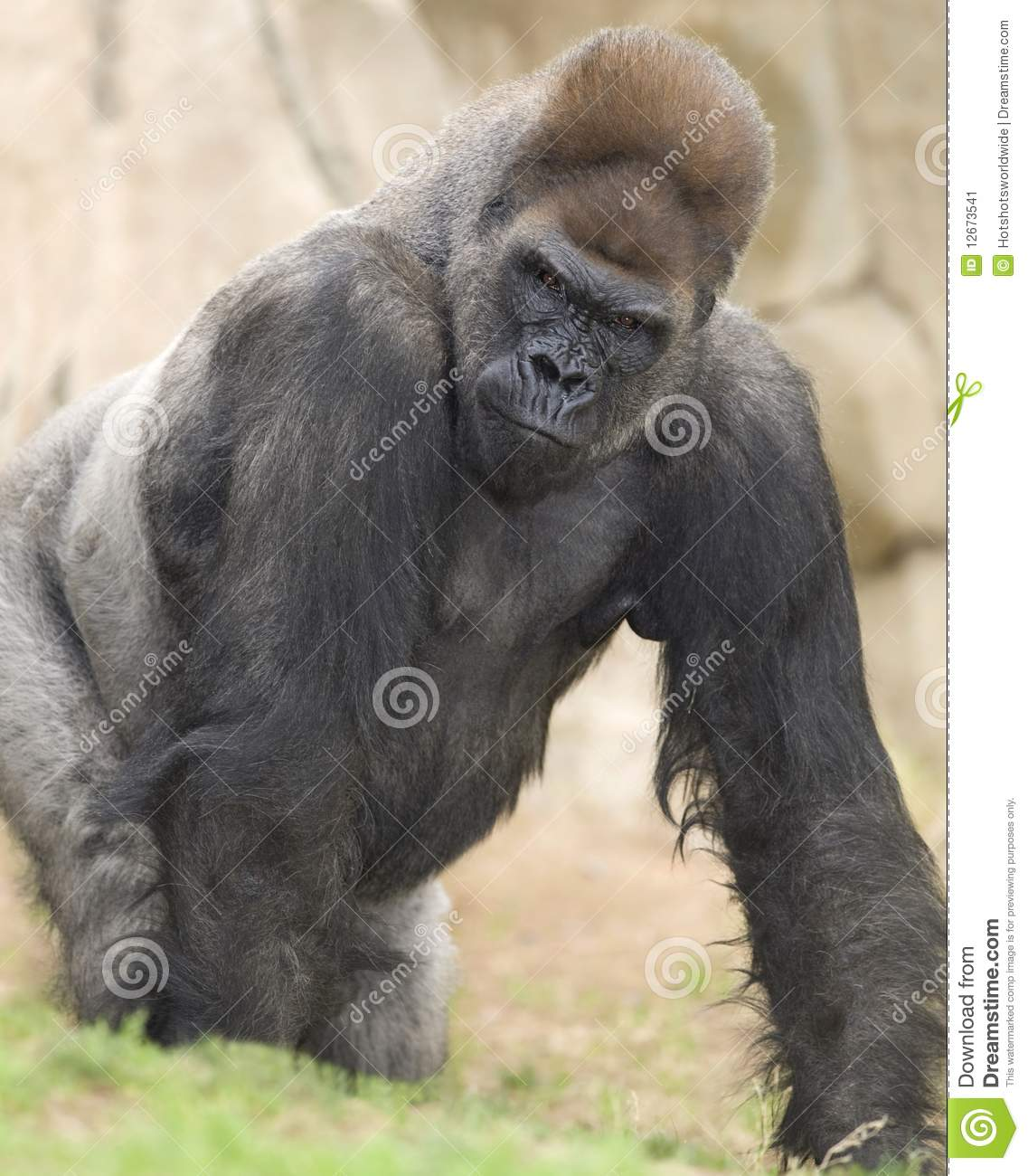 African silverback gorilla - photo#20