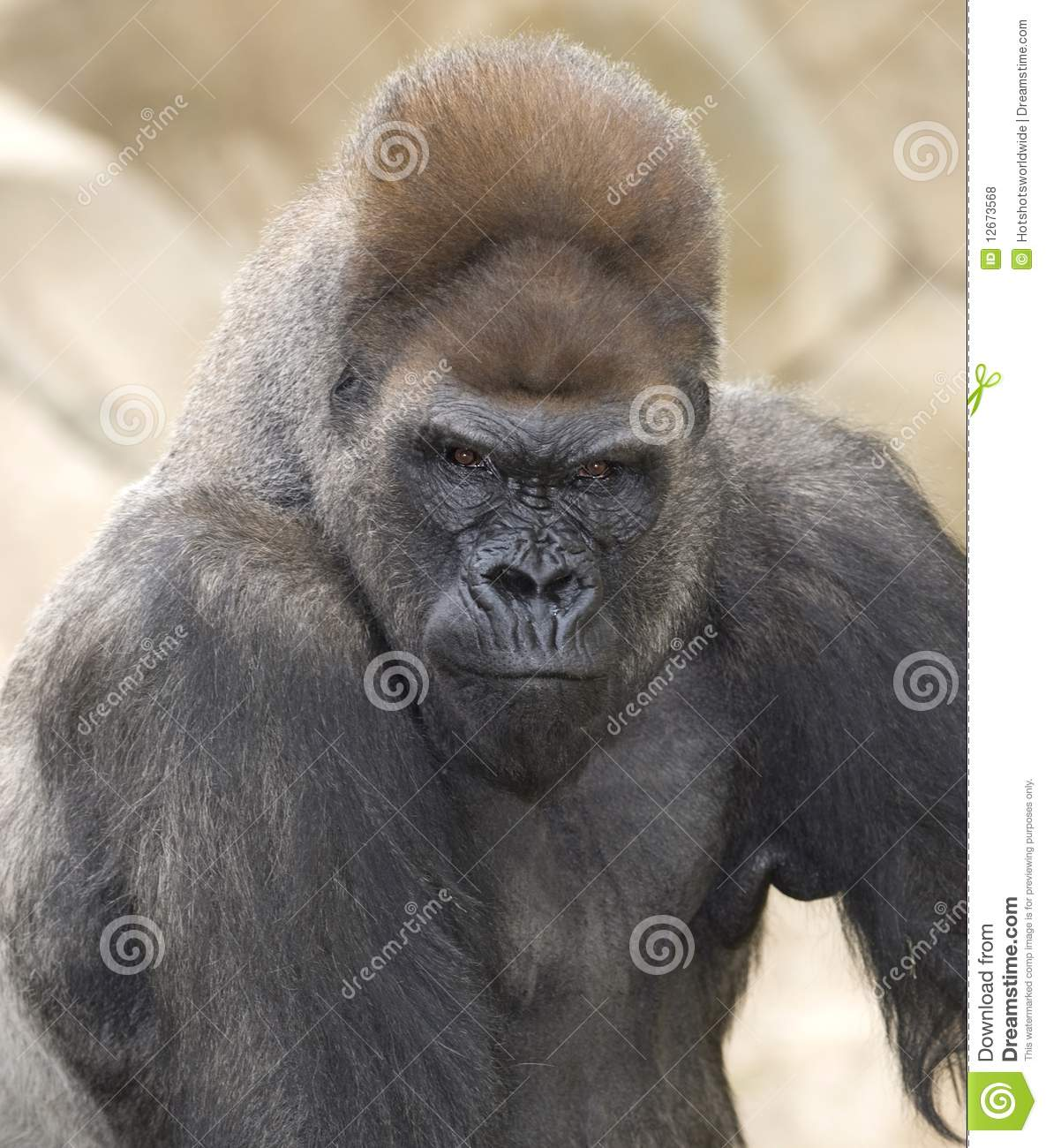 African silverback gorilla - photo#9