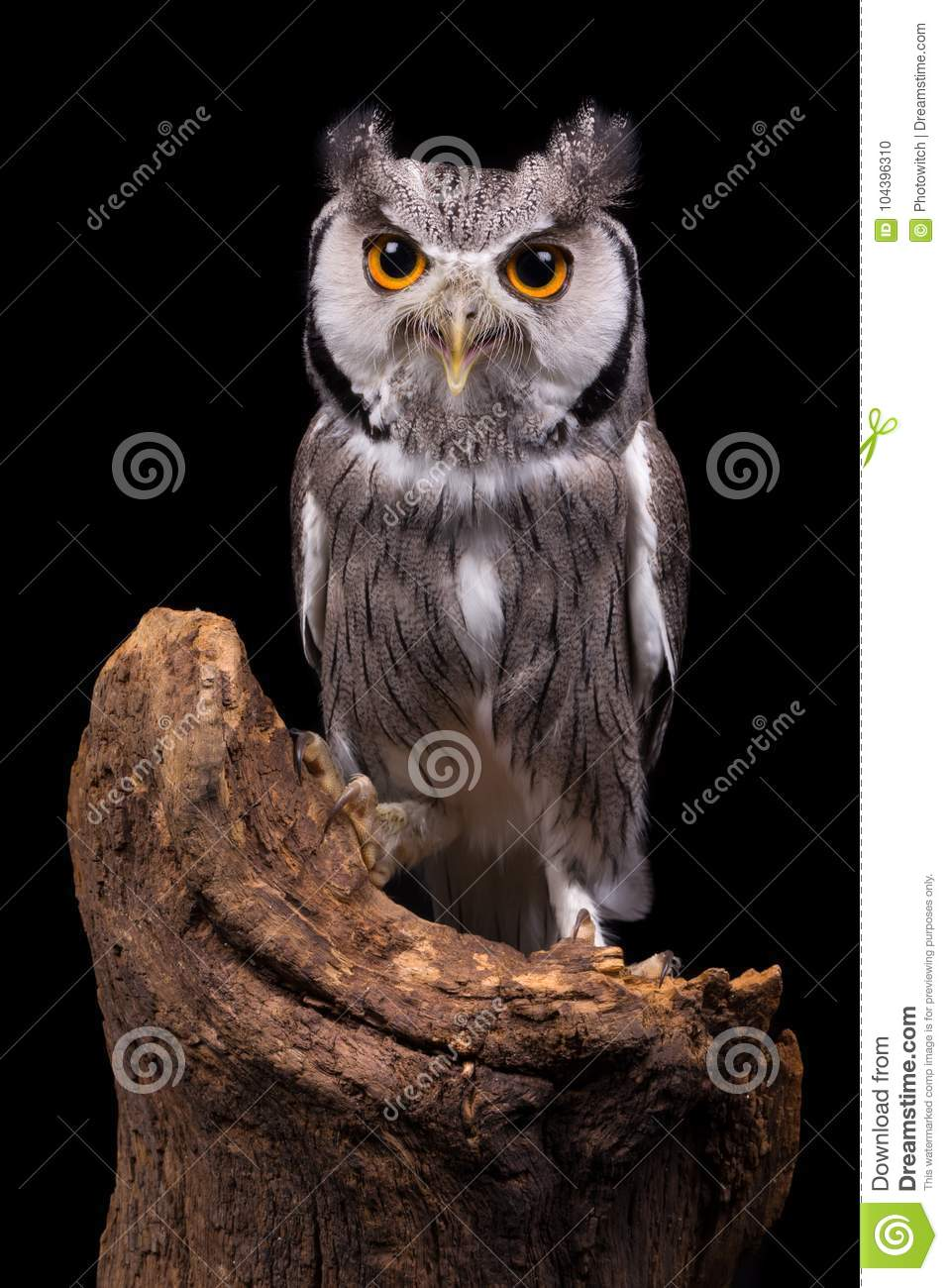 African White Faced Owl On Black Stock Photo Image Of Faced Black