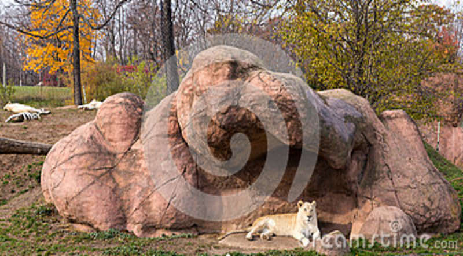 African White lion Panthera leo krugeri.
