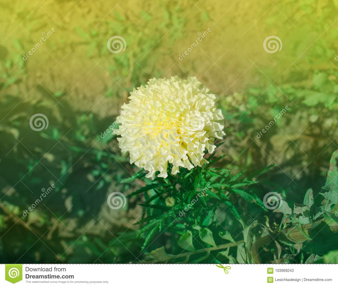 African White Marigold Or Tagetes Erecta Stock Image Image Of