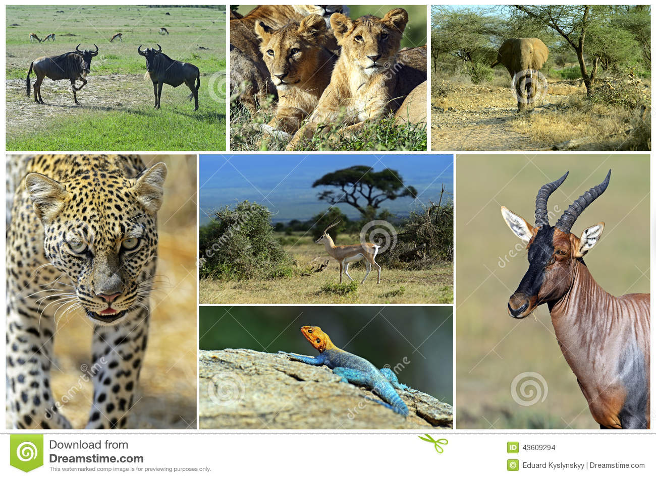 African Wild Animals Safari Collage Large Group Of Fauna Stock Images