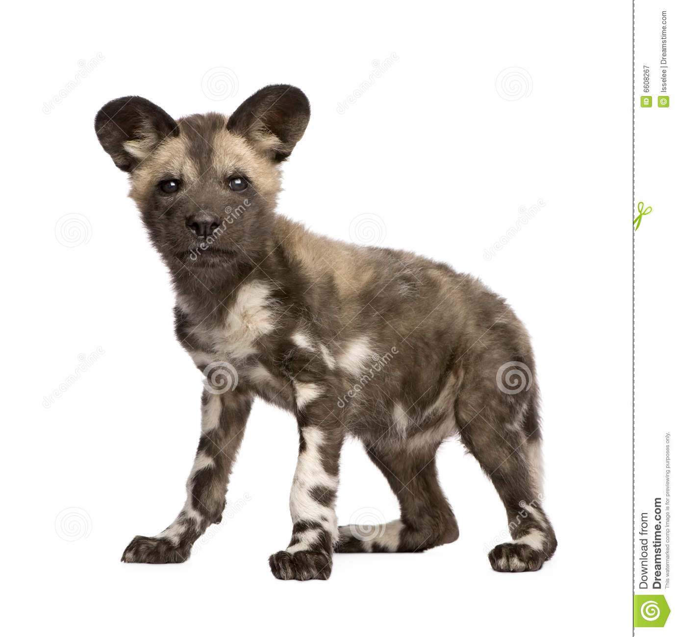 African Wild Dog Cub 9 Weeks Lycaon Pictus Stock Image