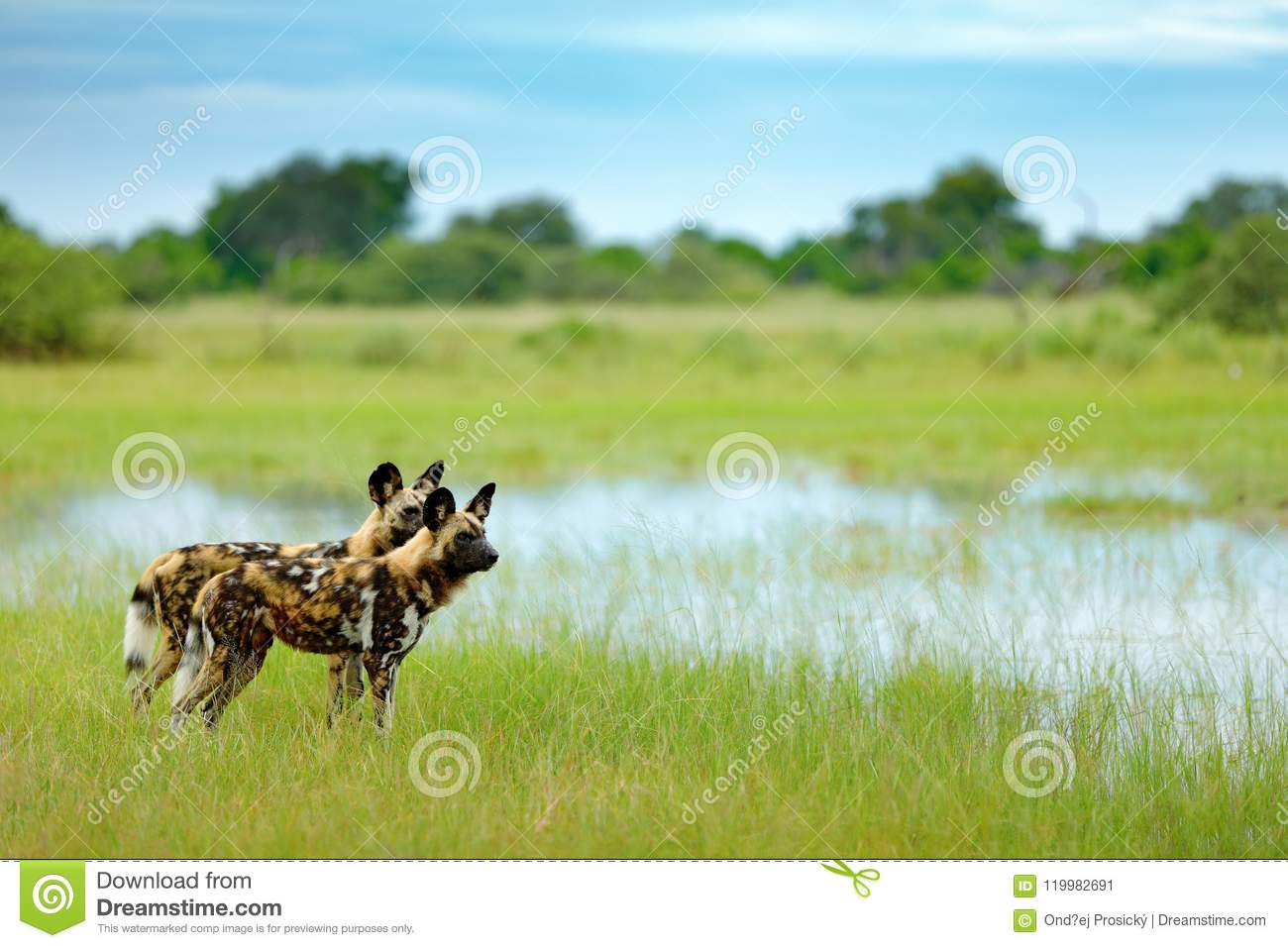 Download African Couple Pair Of Wild Dogs, , Walking In The Water On The Stock Image - Image of lycaon, botswana: 119982691