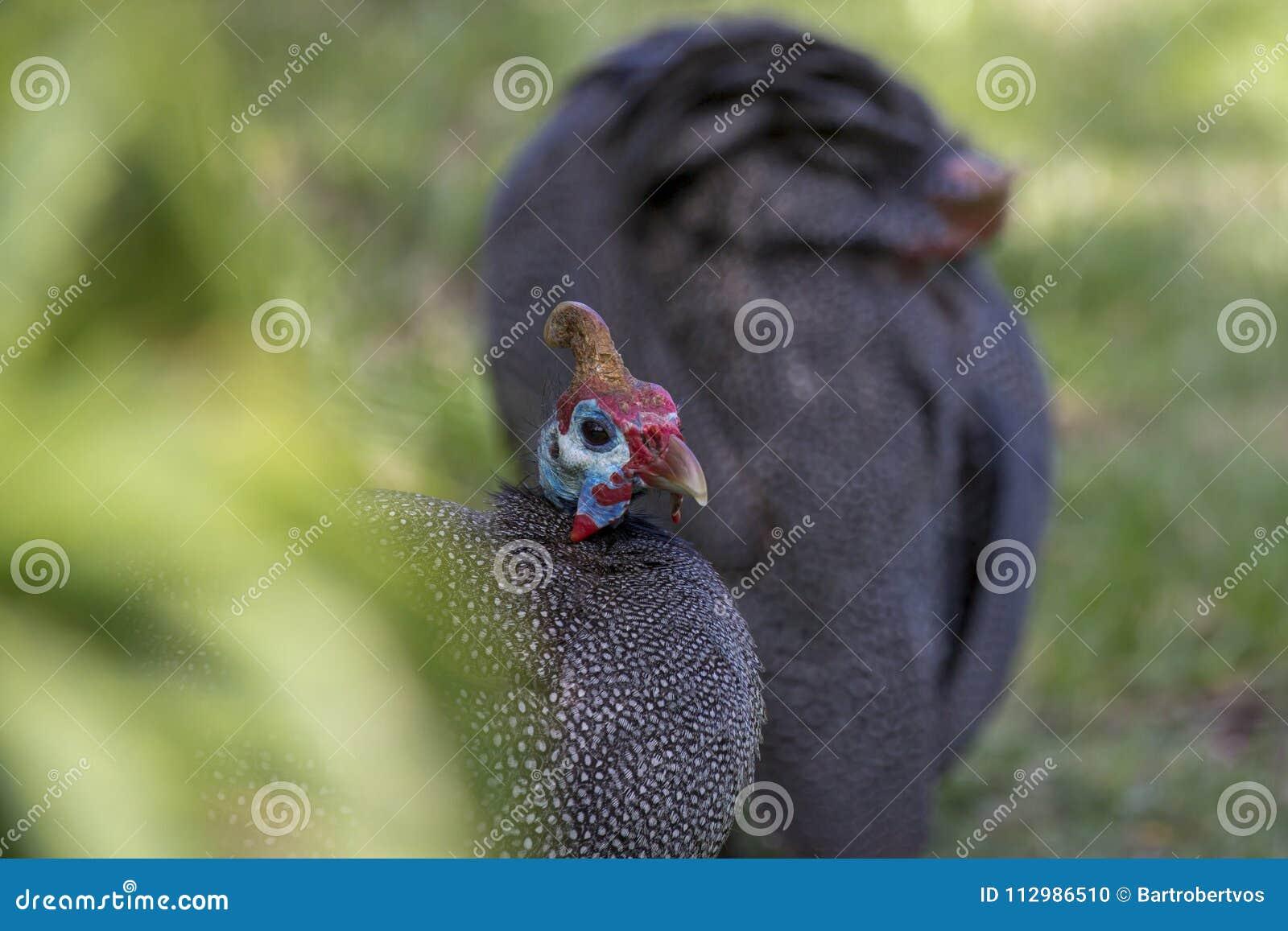 African wild turkey