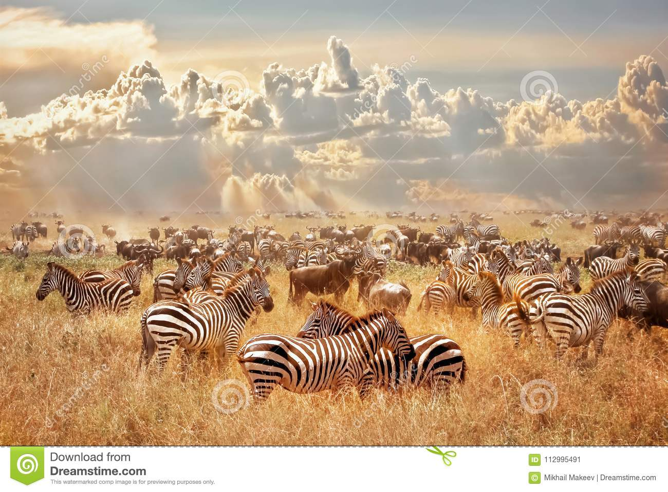 Download African Wild Zebras And Wildebeest In The African Savanna Against A Background Of Cumulus Thunderclouds And The Setting Sun. Wild Stock Image - Image of adventure, savannah: 112995491