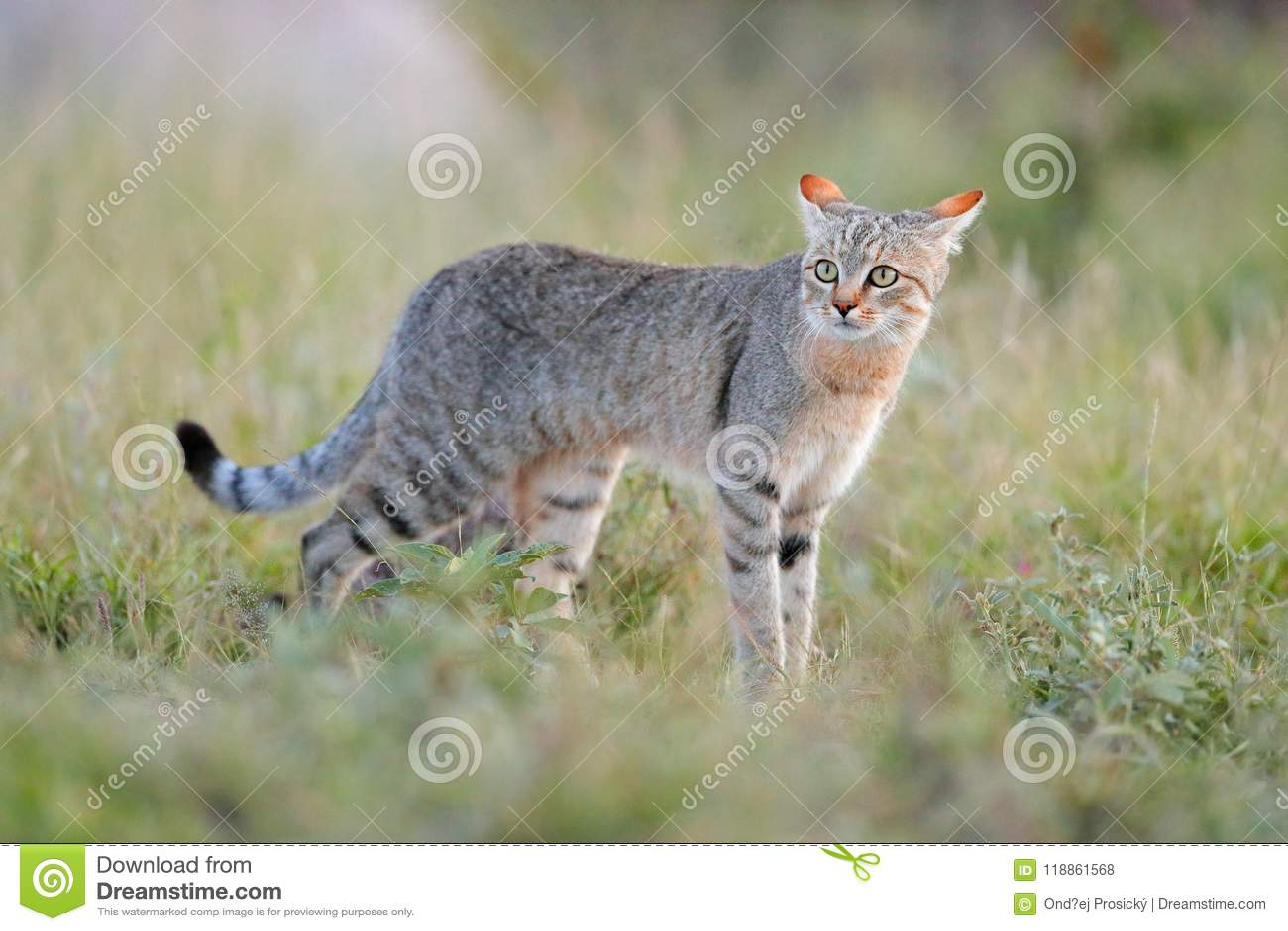 African wildcat, Felis lybica, also called Near Eastern Wild Cat. Wild animal in nature habitat, grass meadow. Wildlife nature. Wi