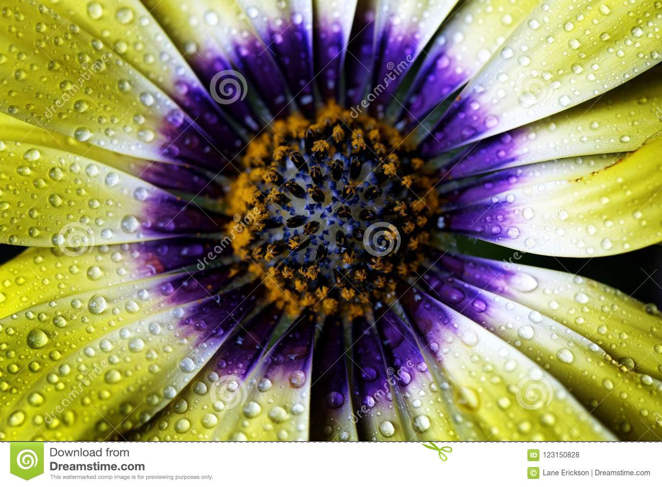 African Daisy Yellow and Purple