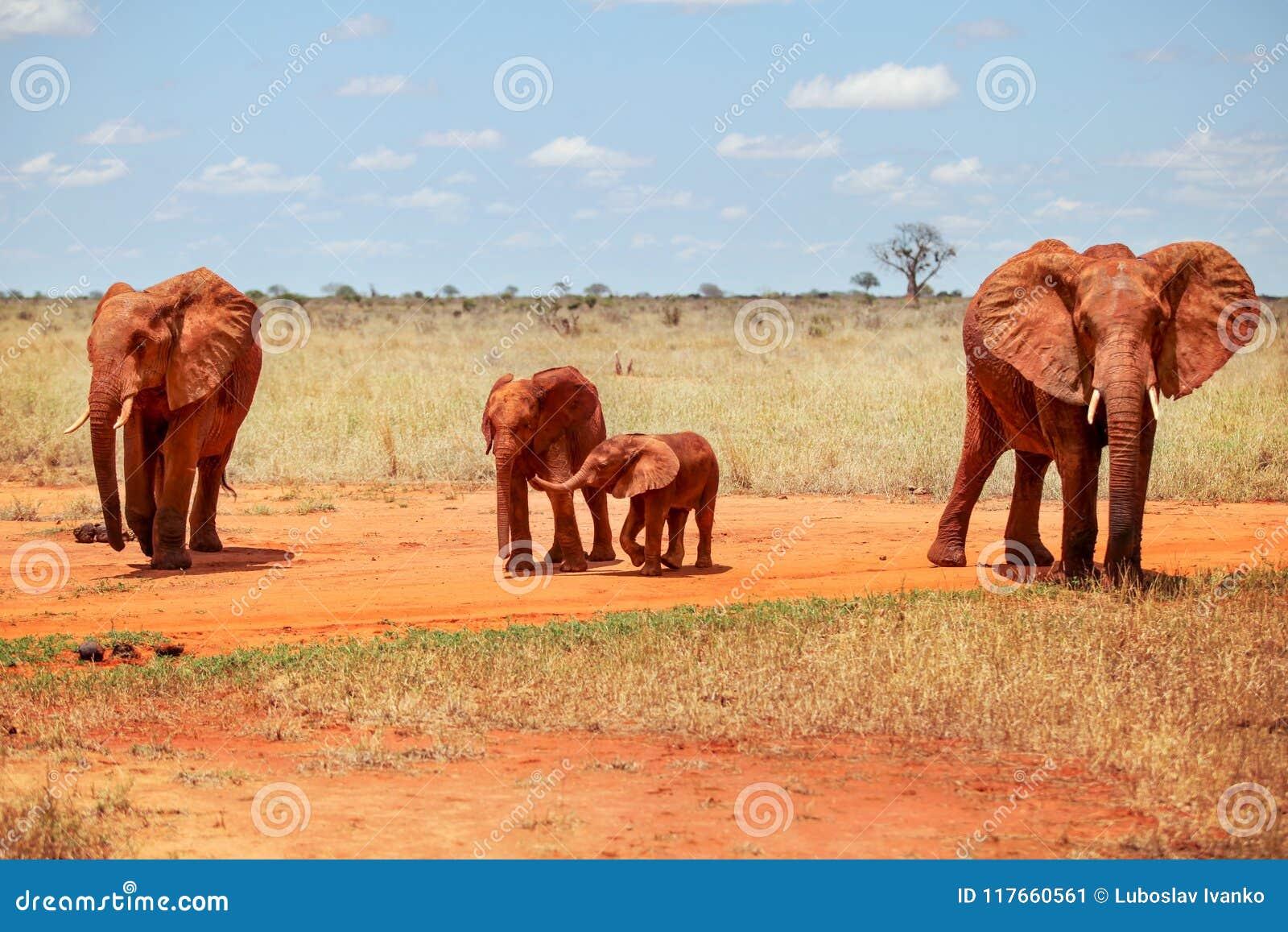 Africana africano do Loxodonta dos elefantes do arbusto da família de quatro pessoas, angra