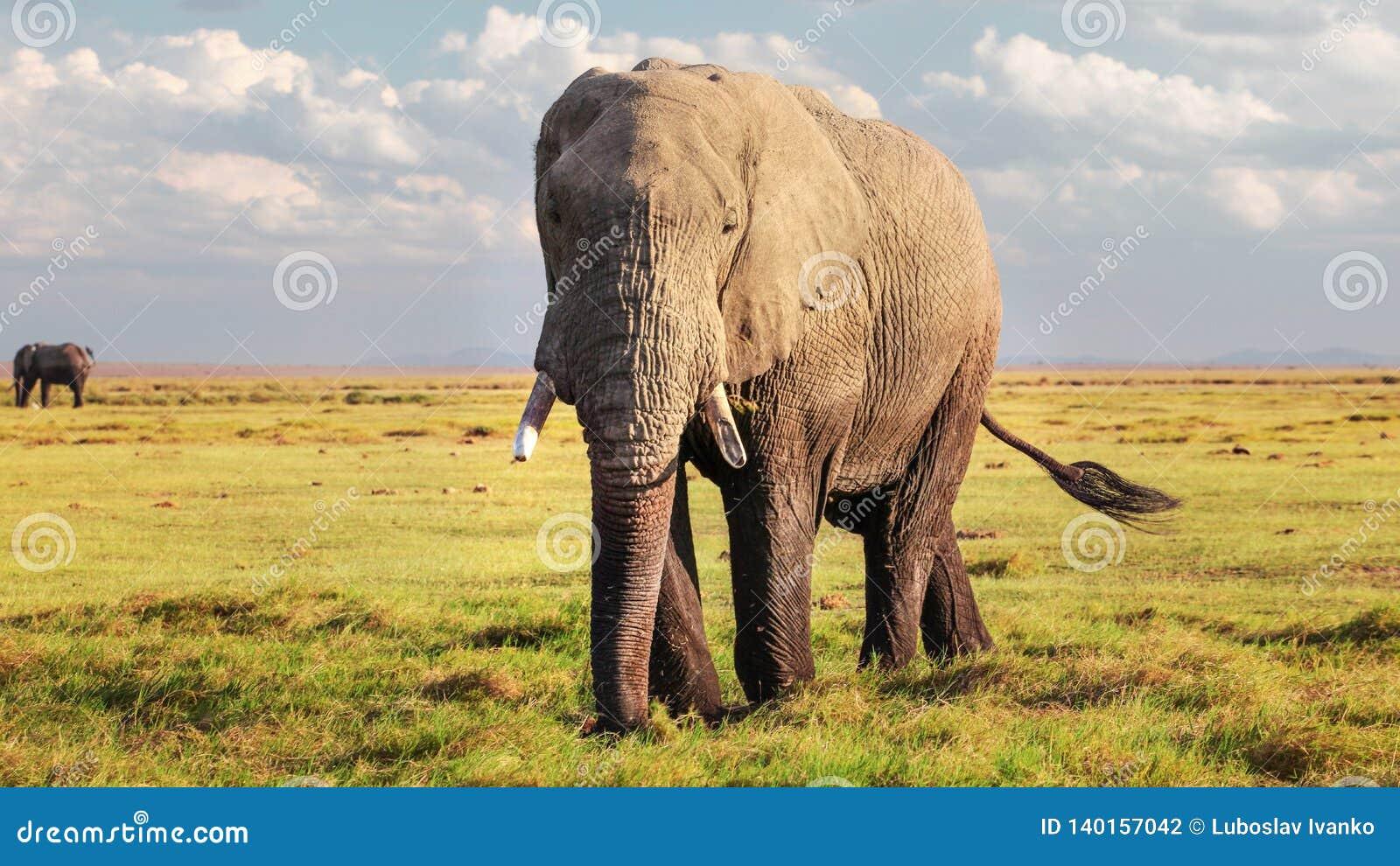 Africana africano do Loxodonta do elefante do arbusto que anda na baixa grama no savana