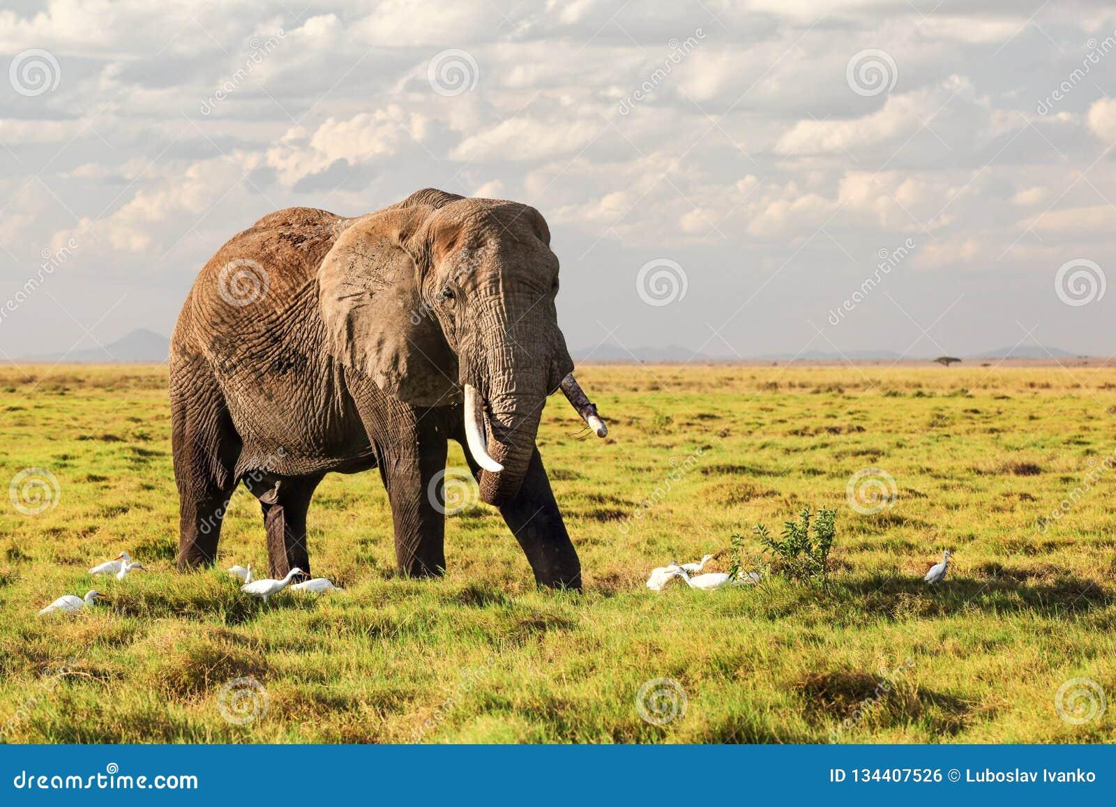 Africana africano do Loxodonta do elefante do arbusto que anda na grama no savana, pássaros brancos da garça-real em torno de seu