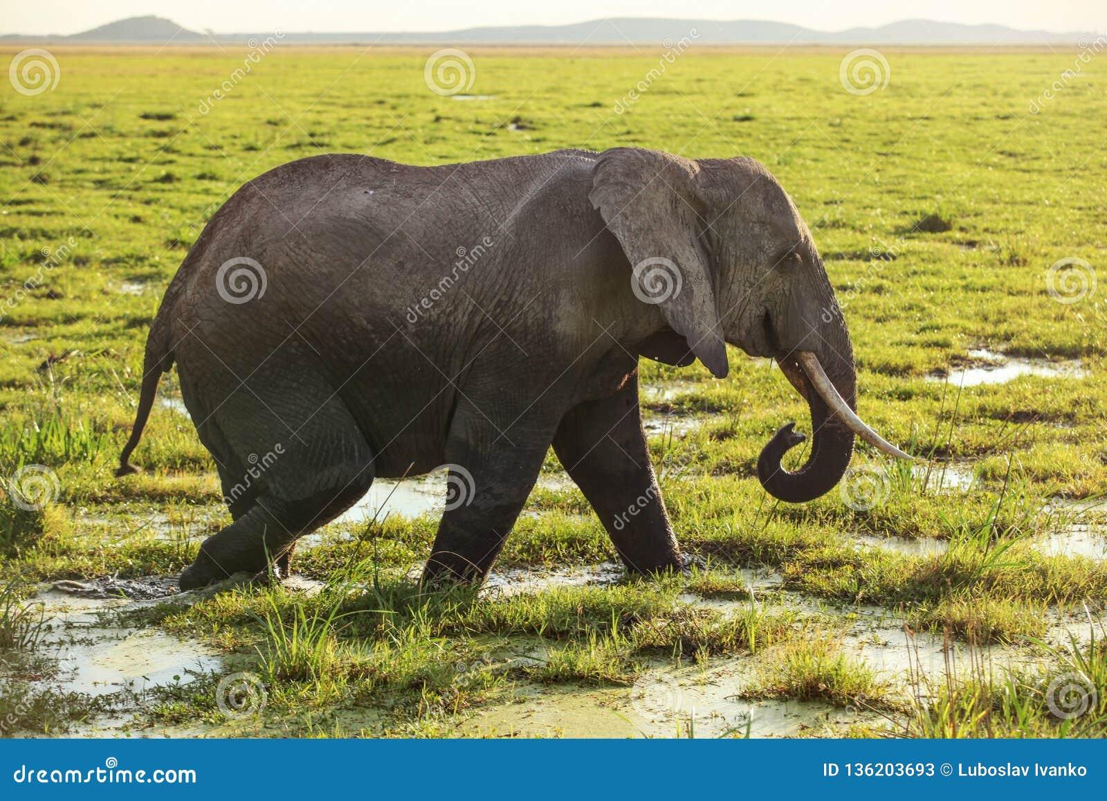 Africana africano do Loxodonta do elefante do arbusto que anda no savana, grama coberta na água