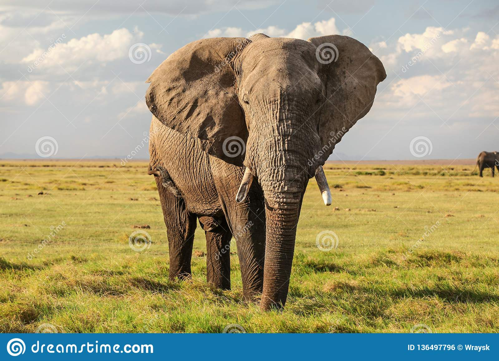 Africana africano majestuoso del Loxodonta del elefante del arbusto en la sabana plana de la hierba verde que mira en cámara