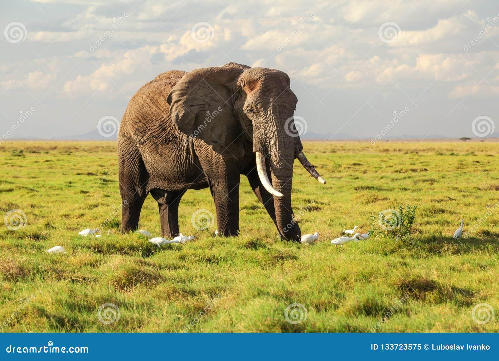 Africana africano que camina en hierba, pocos del Loxodonta del elefante del arbusto