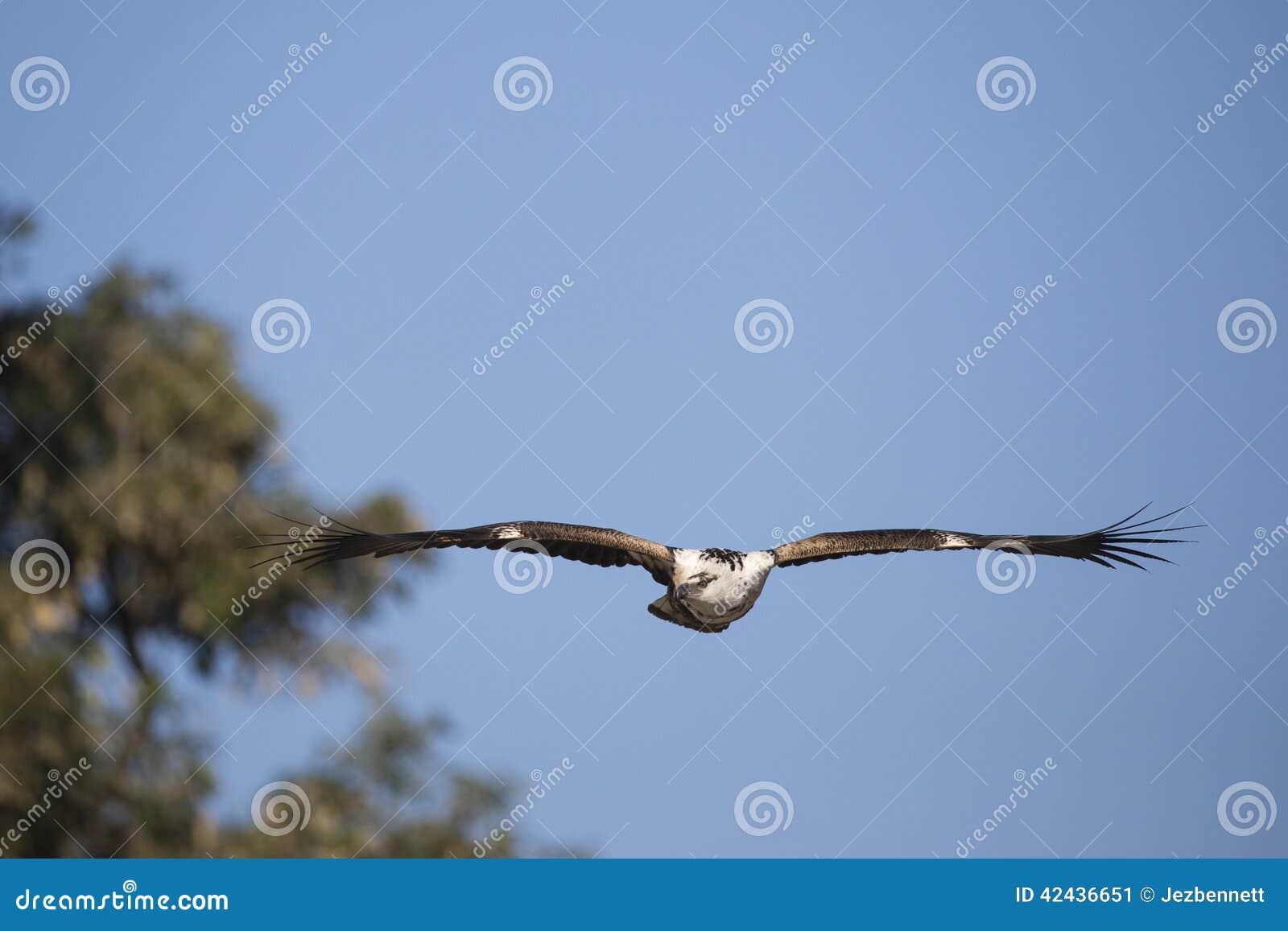 Africano no maduro Pescado-Eagle (vocifer de Hakiaeetus)