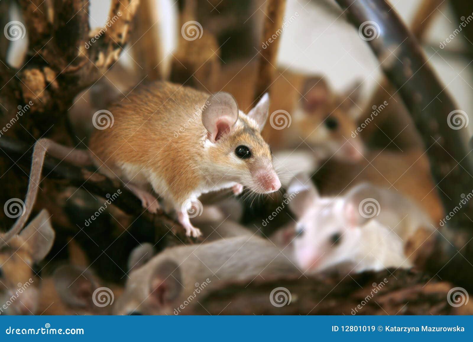 Africano, rato espinhoso do deserto (cahirus de Acomys)