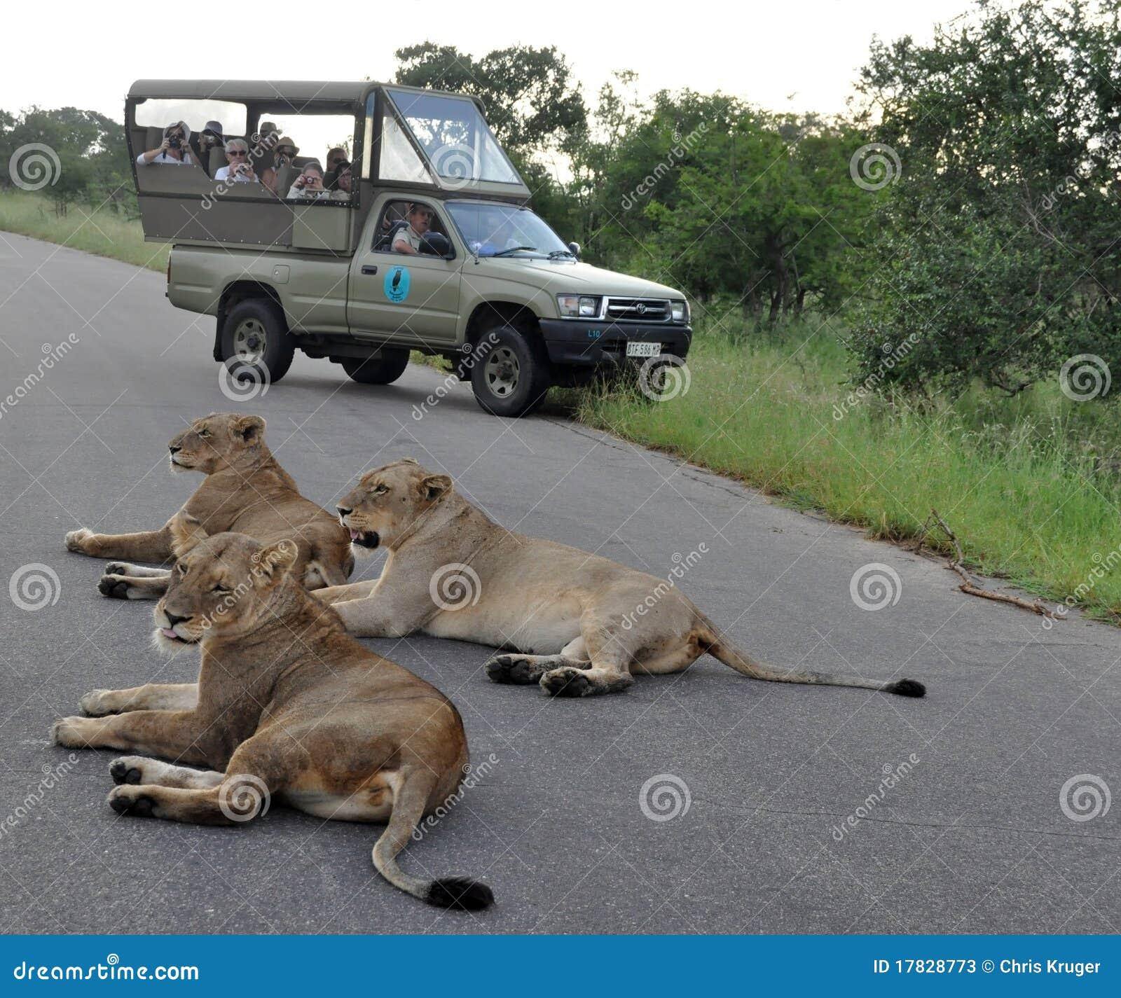Afrika-Löwe
