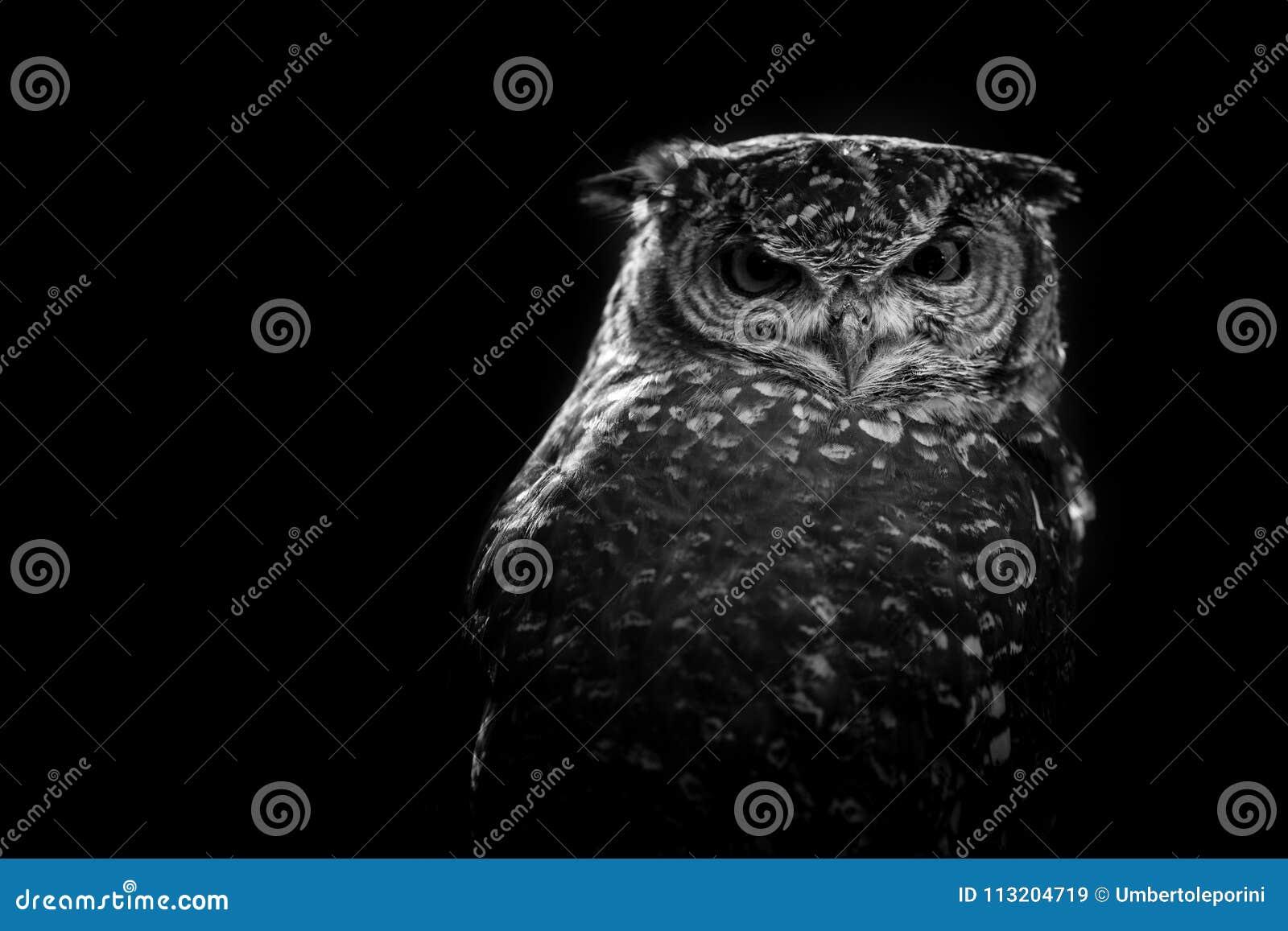 Afrikaans uil zwart-wit beeld