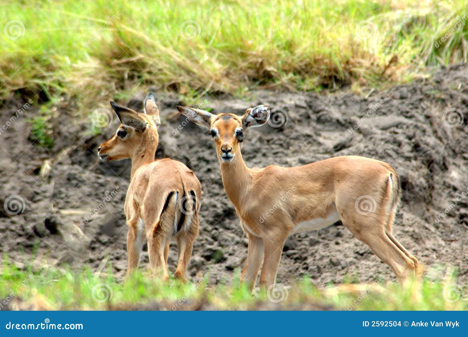 Afrikaanse antilopen
