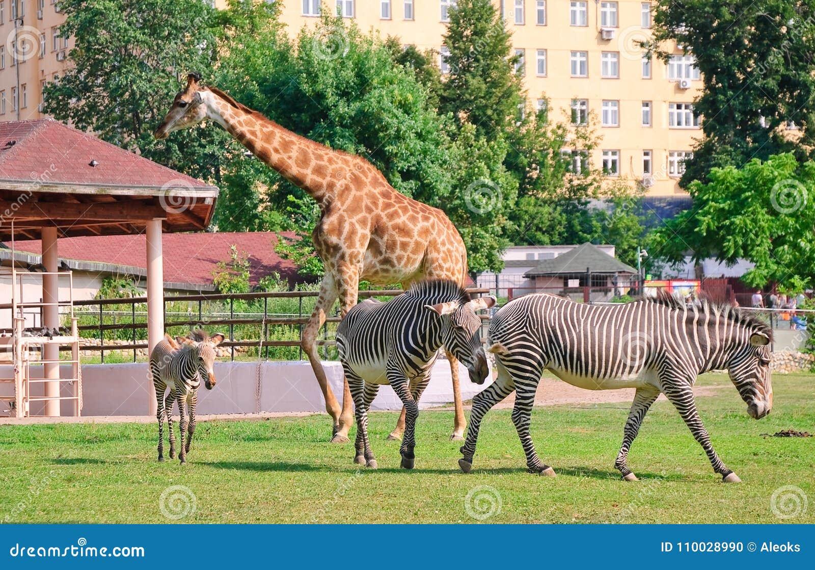 Afrikaanse camelopardalis van girafgiraffa en grevy Gestreepte Equus grevyi van ` s in de dierentuin