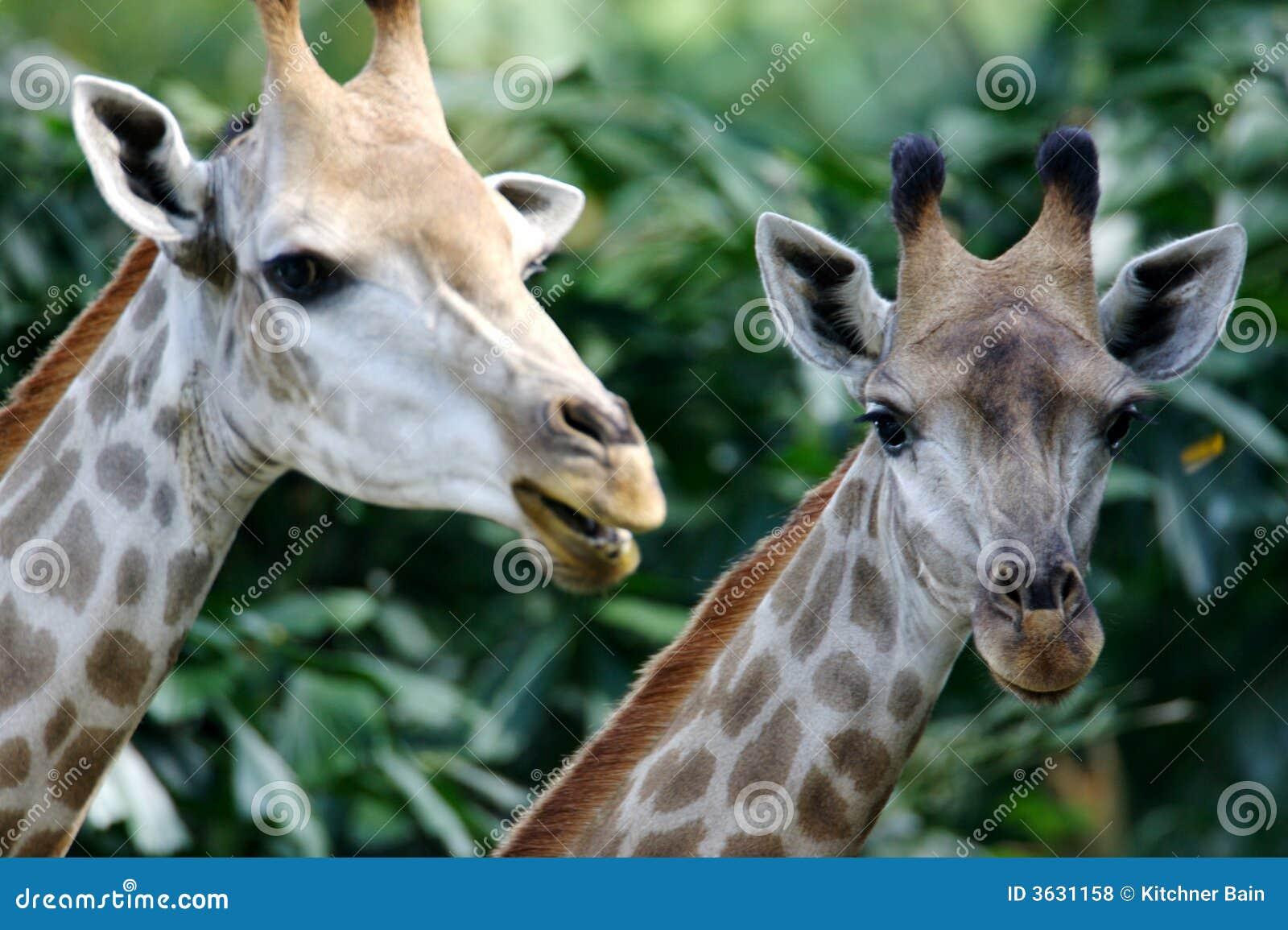 Afrikaanse Giraffen