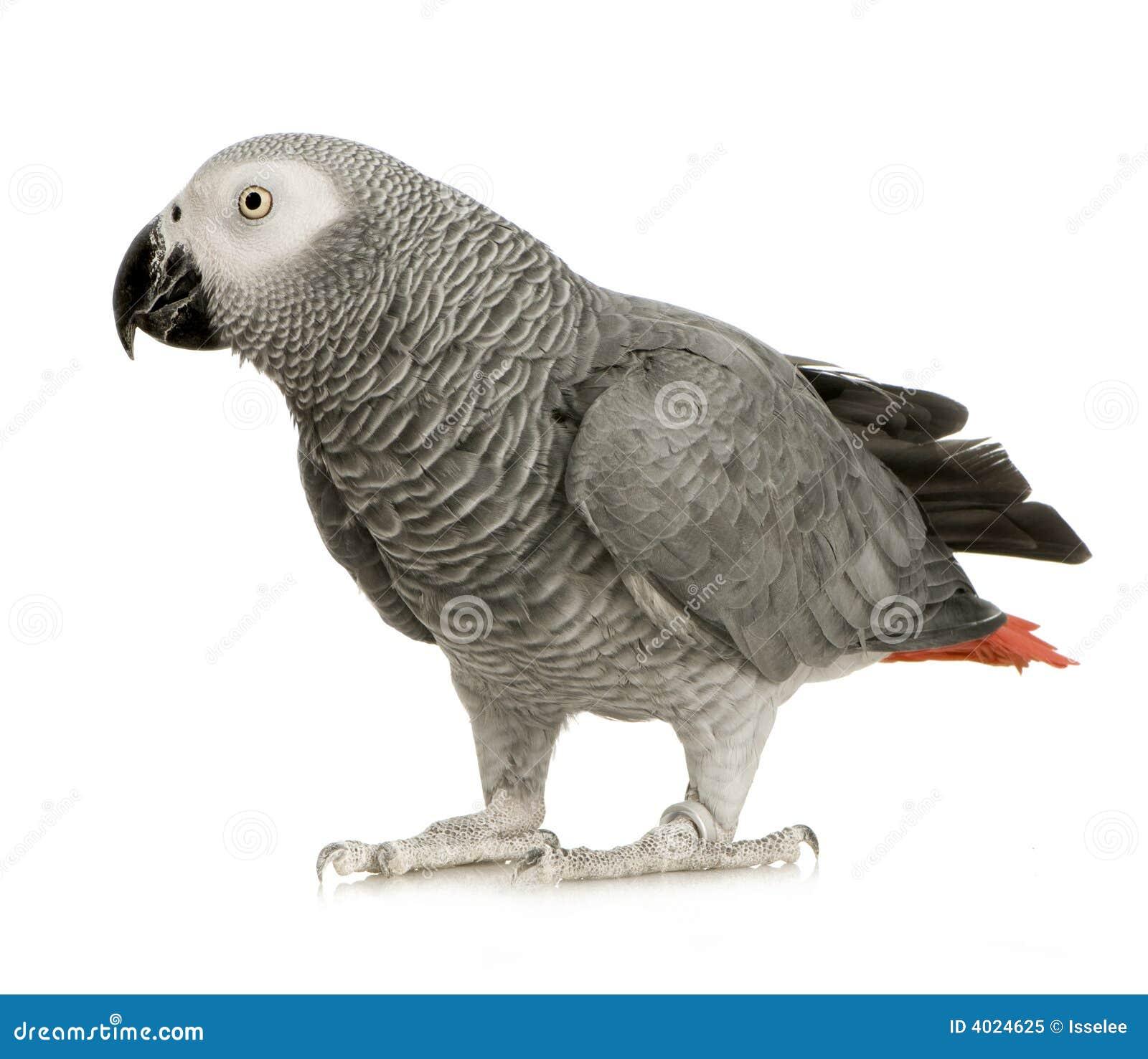 Afrikaanse Grijze Papegaai - erithacus Psittacus