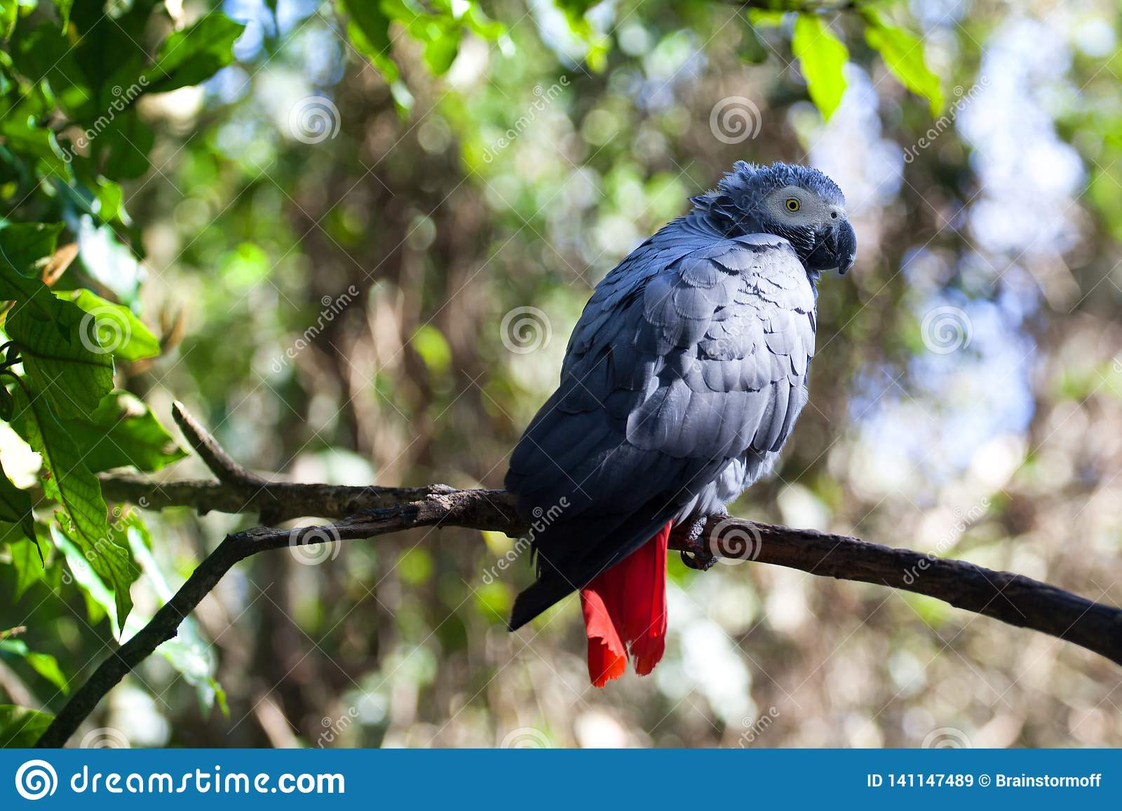 Afrikaanse grijze papegaai of Psittacus-erithacuszitting op groene boom dichte omhooggaand als achtergrond