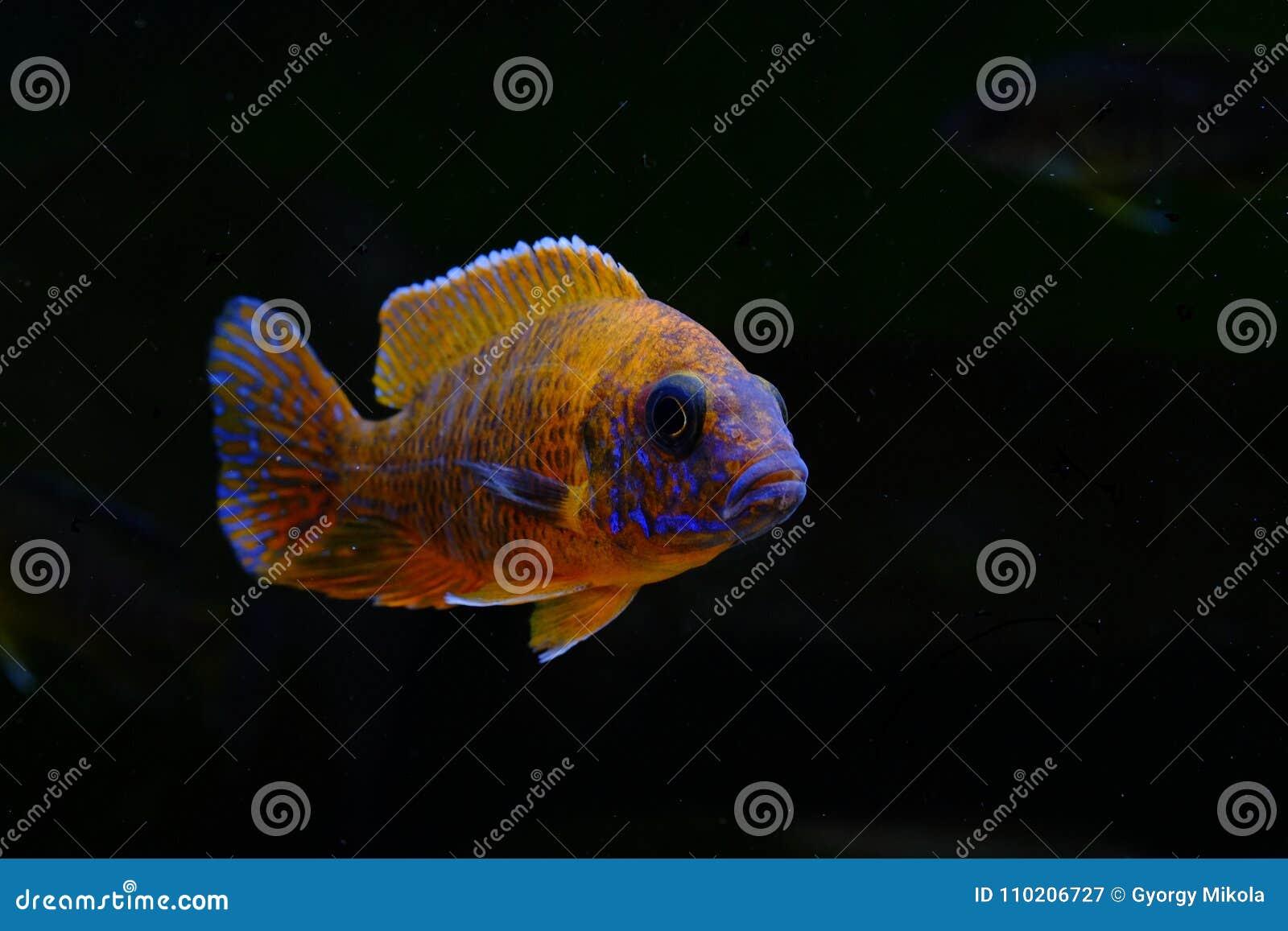 Afrikaanse het aquariumvissen van Malawi cichlid zoetwater