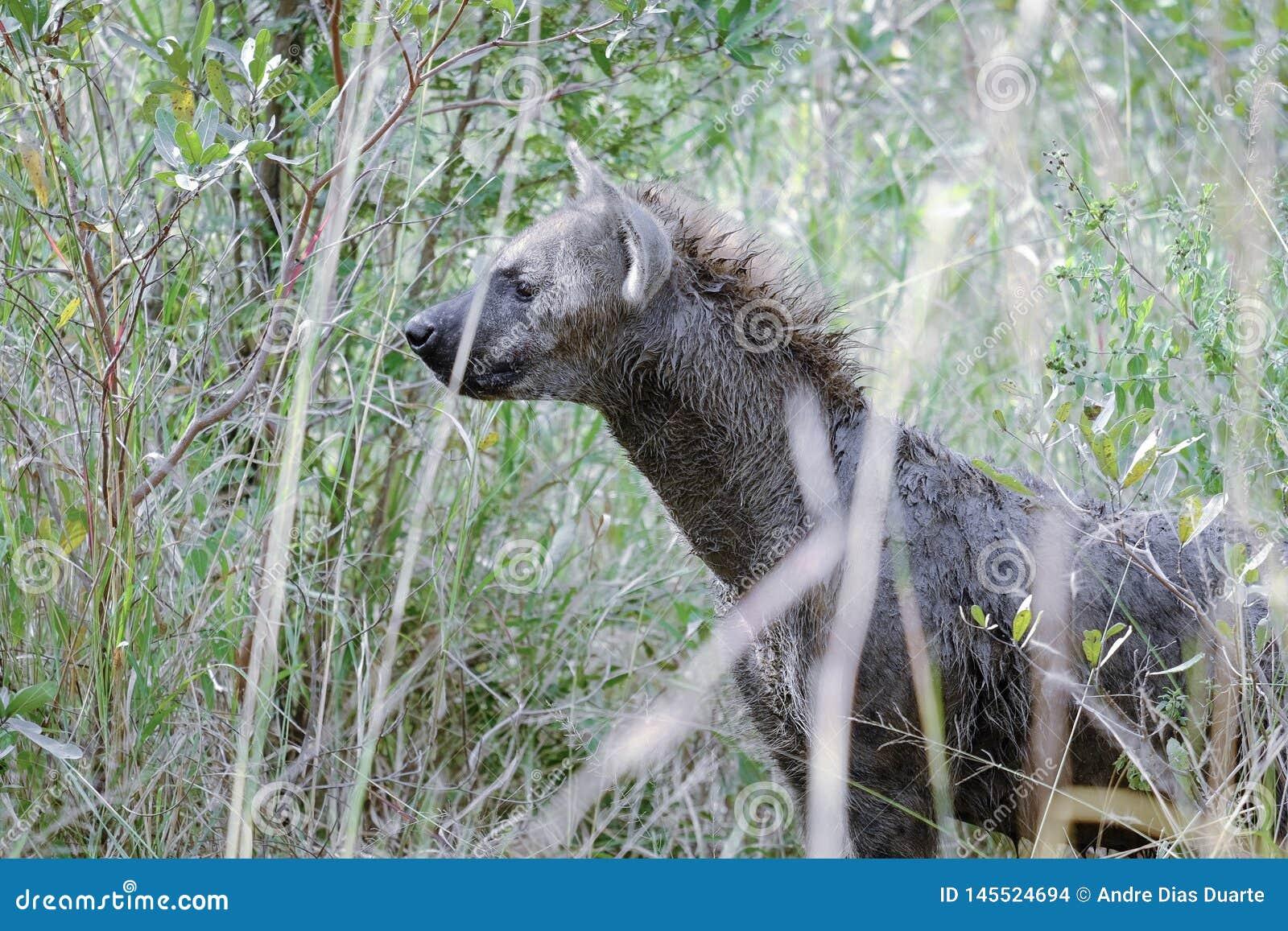 Afrikaanse hyena die zijdelings onder ogen zien