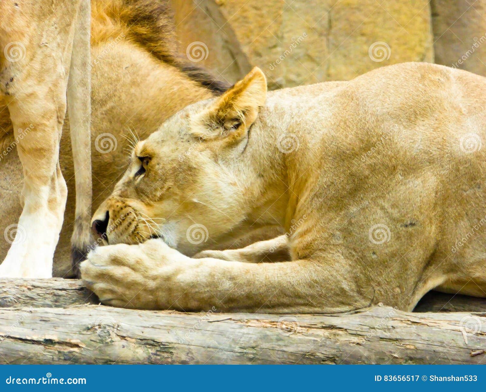 hoe groot is een leeuwen lul striptease Porn Tube