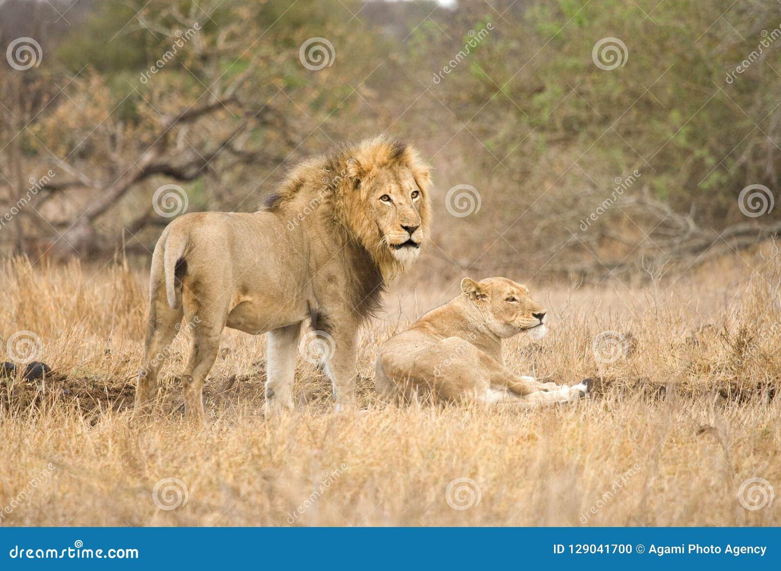 Afrikaanse Leeuw, Afrikaanse Leeuw, Panthera-leo