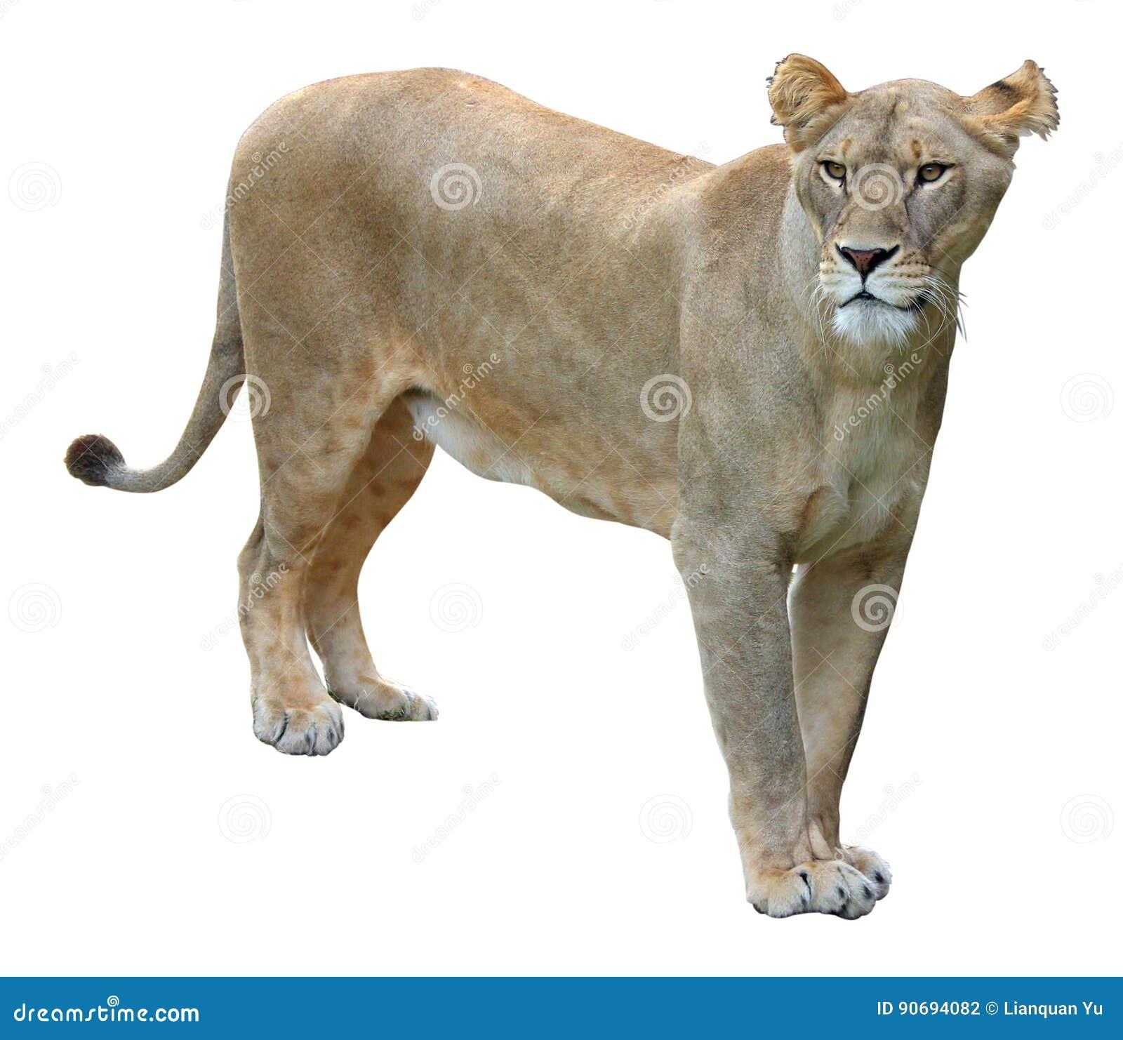 Afrikaanse leeuwin op witte achtergrond