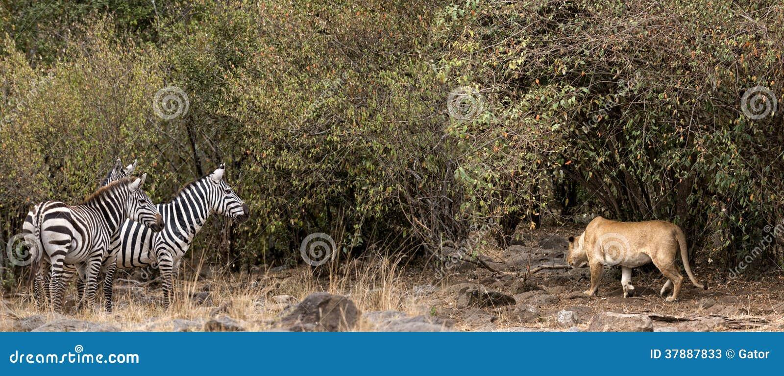 Afrikaanse leeuwinprooi op zebra