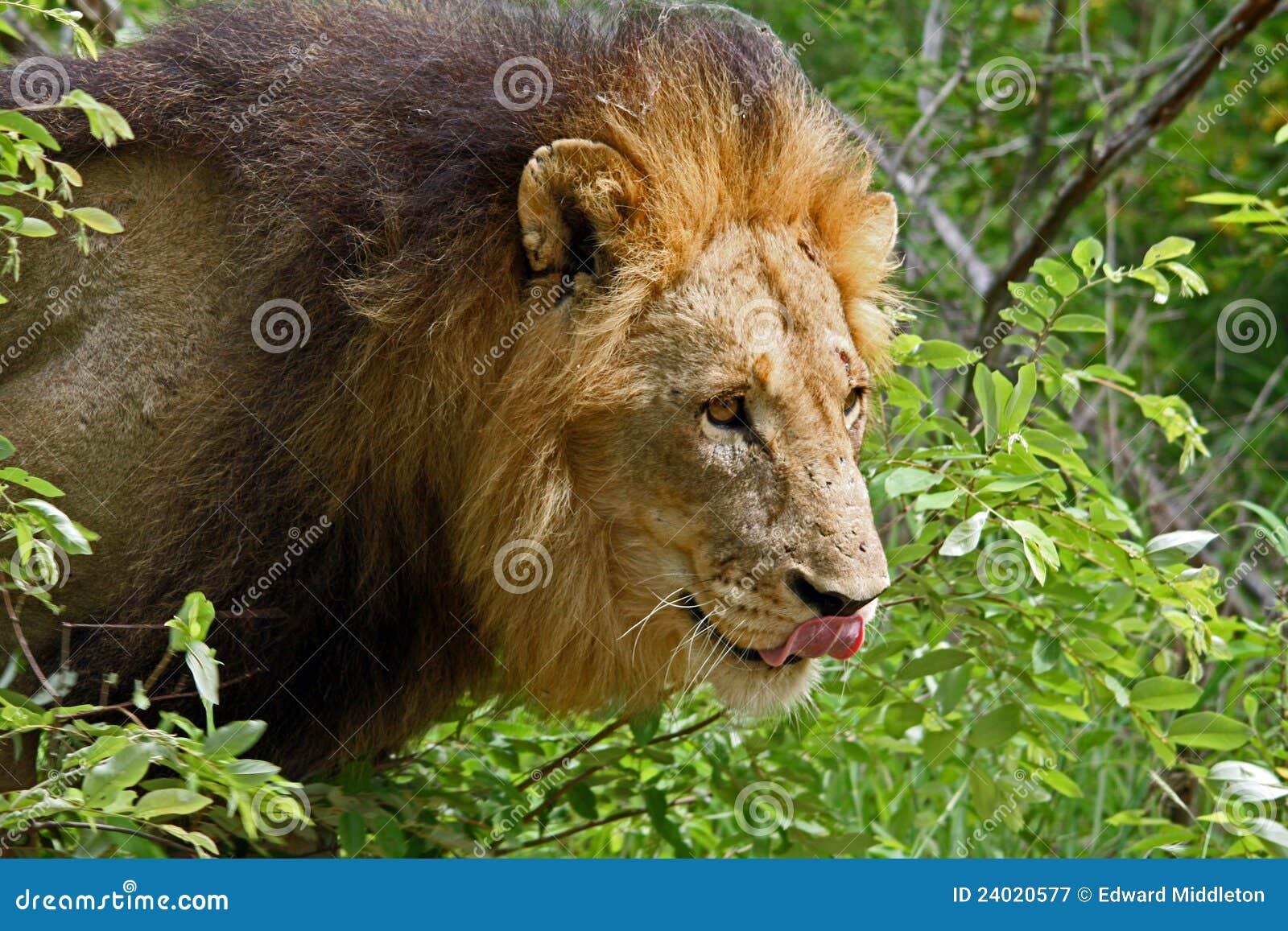 Afrikaanse mannelijke leeuw