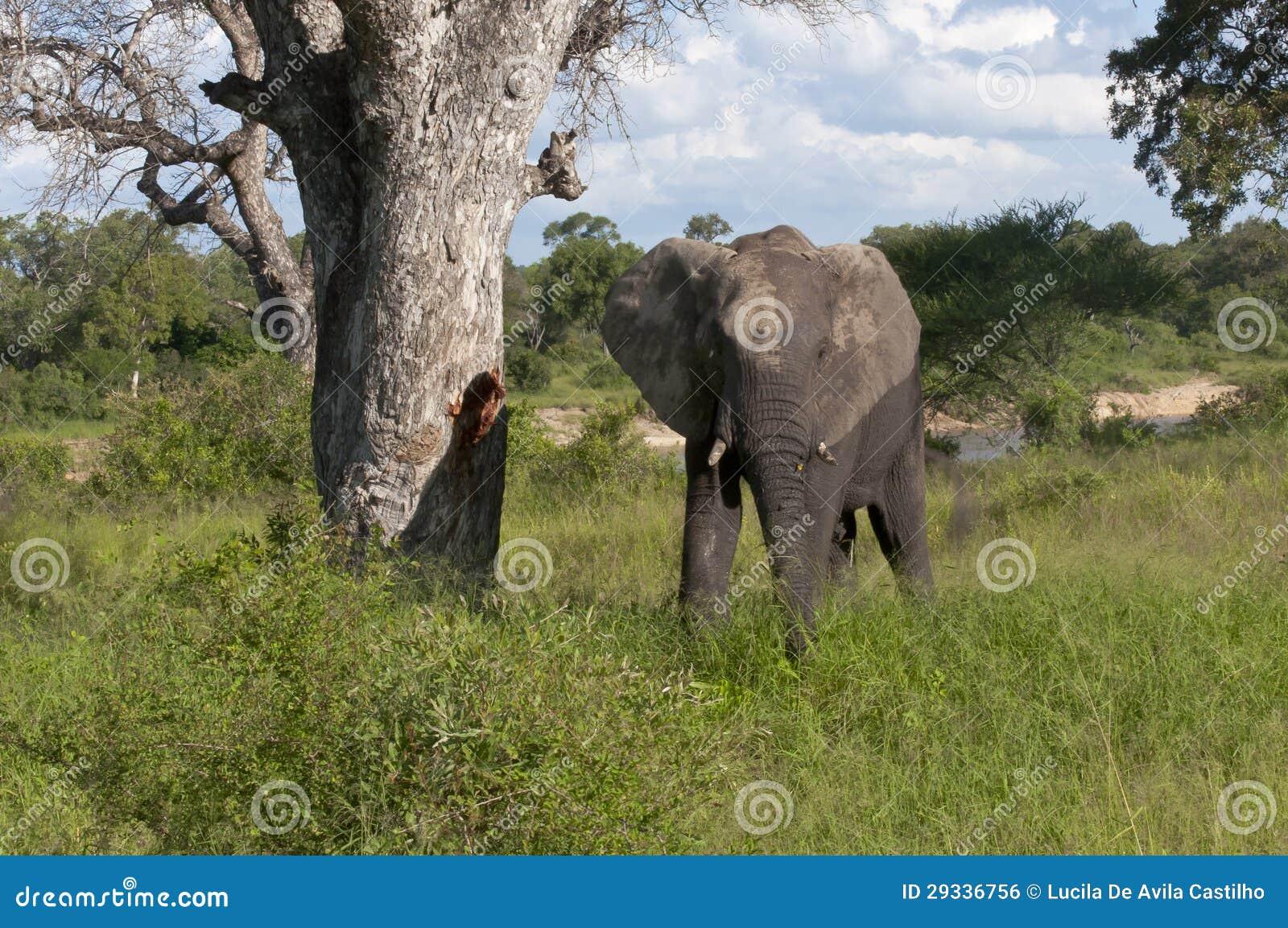 Afrikaanse Olifant in Zuid-Afrika