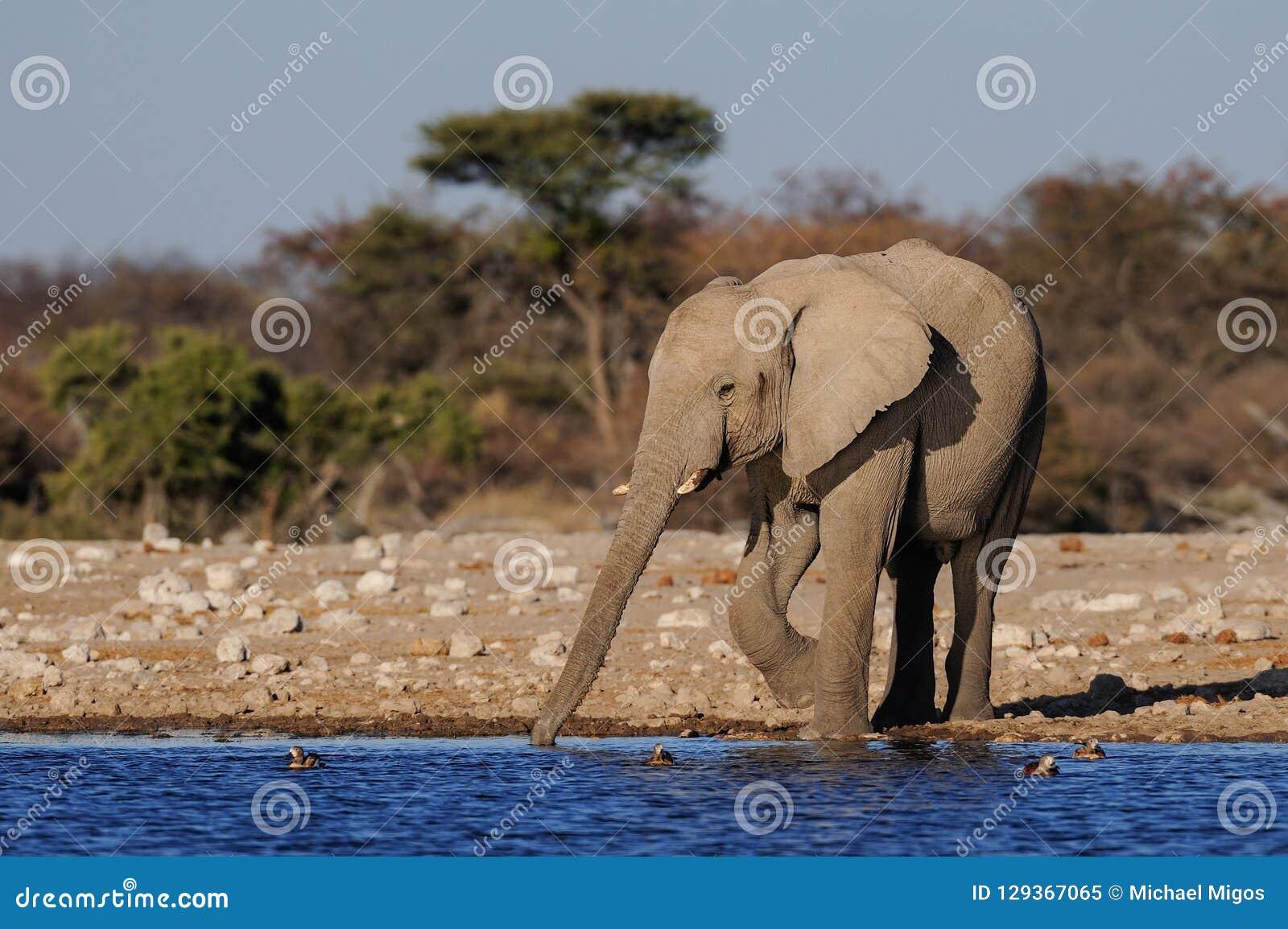 Afrikaanse olifantsdrank op een waterhole, etosha nationalpark