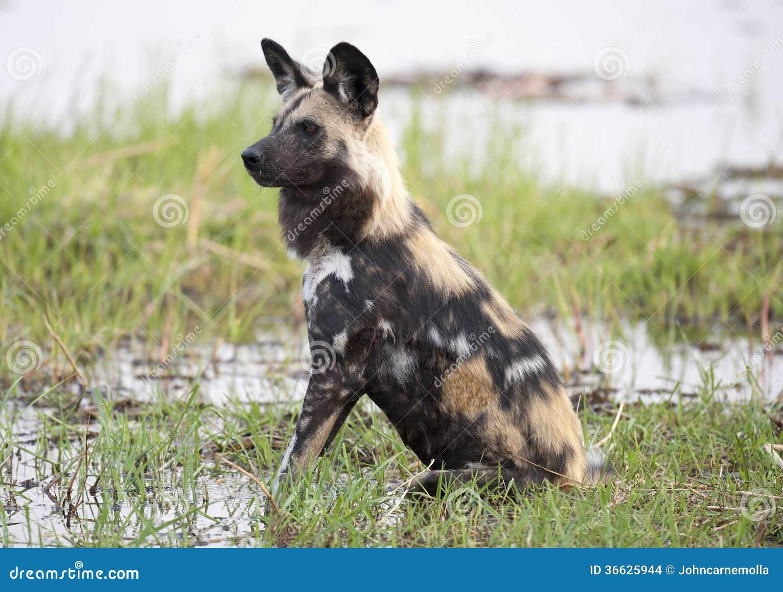 Afrikaanse wilde hond
