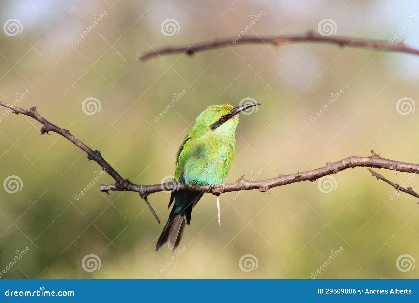 Afrikaanse Wilde Vogels - bij-Eter Greens