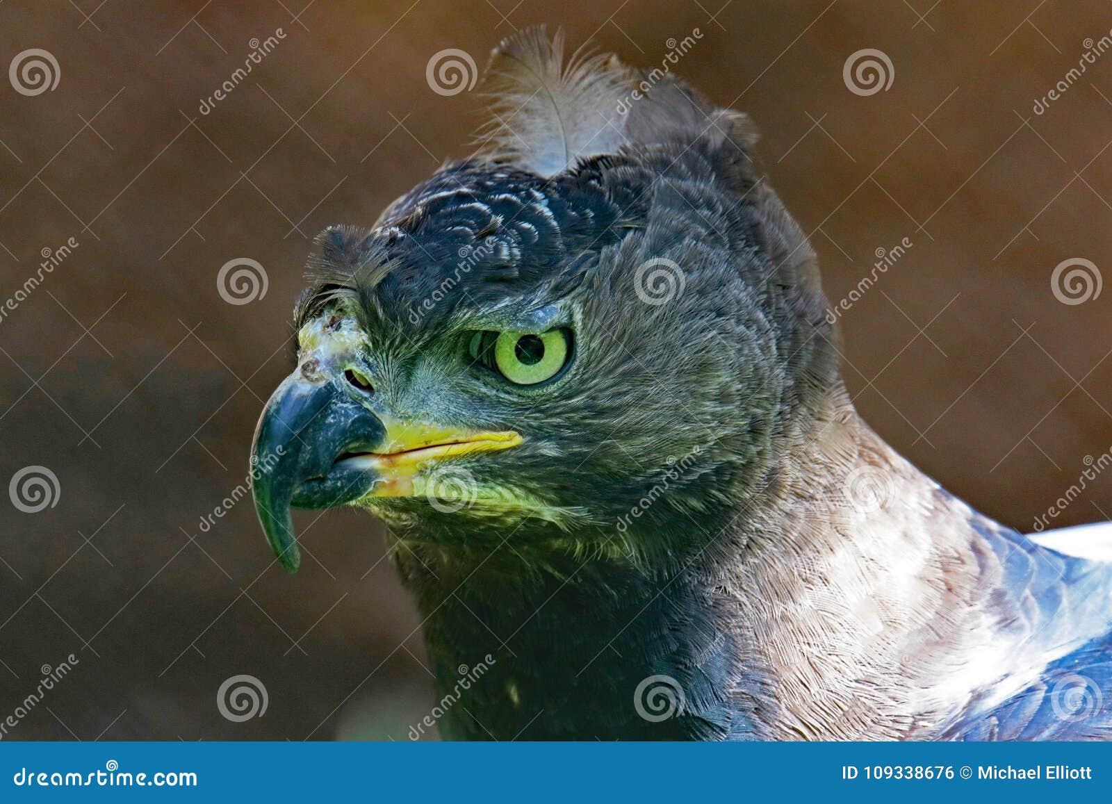 Afrikan krönad örn